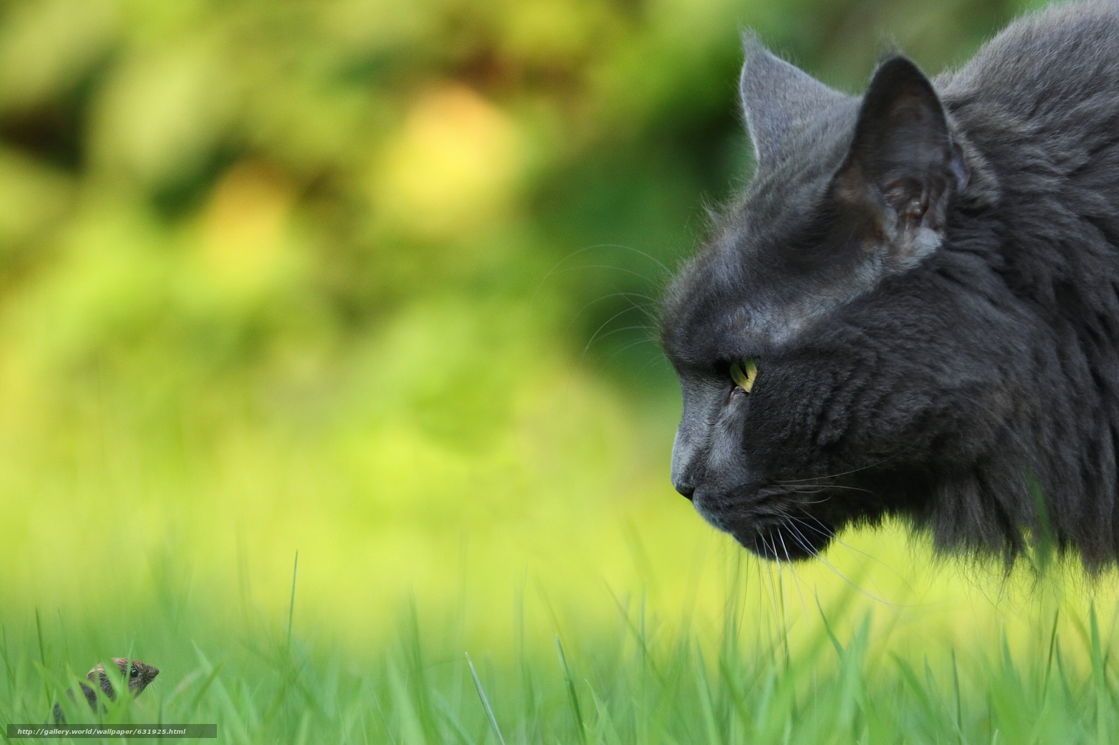scaricare gli sfondi COTE,  gatto,  topo,  peepers Sfondi gratis per la risoluzione del desktop 2048x1365 — immagine №631925