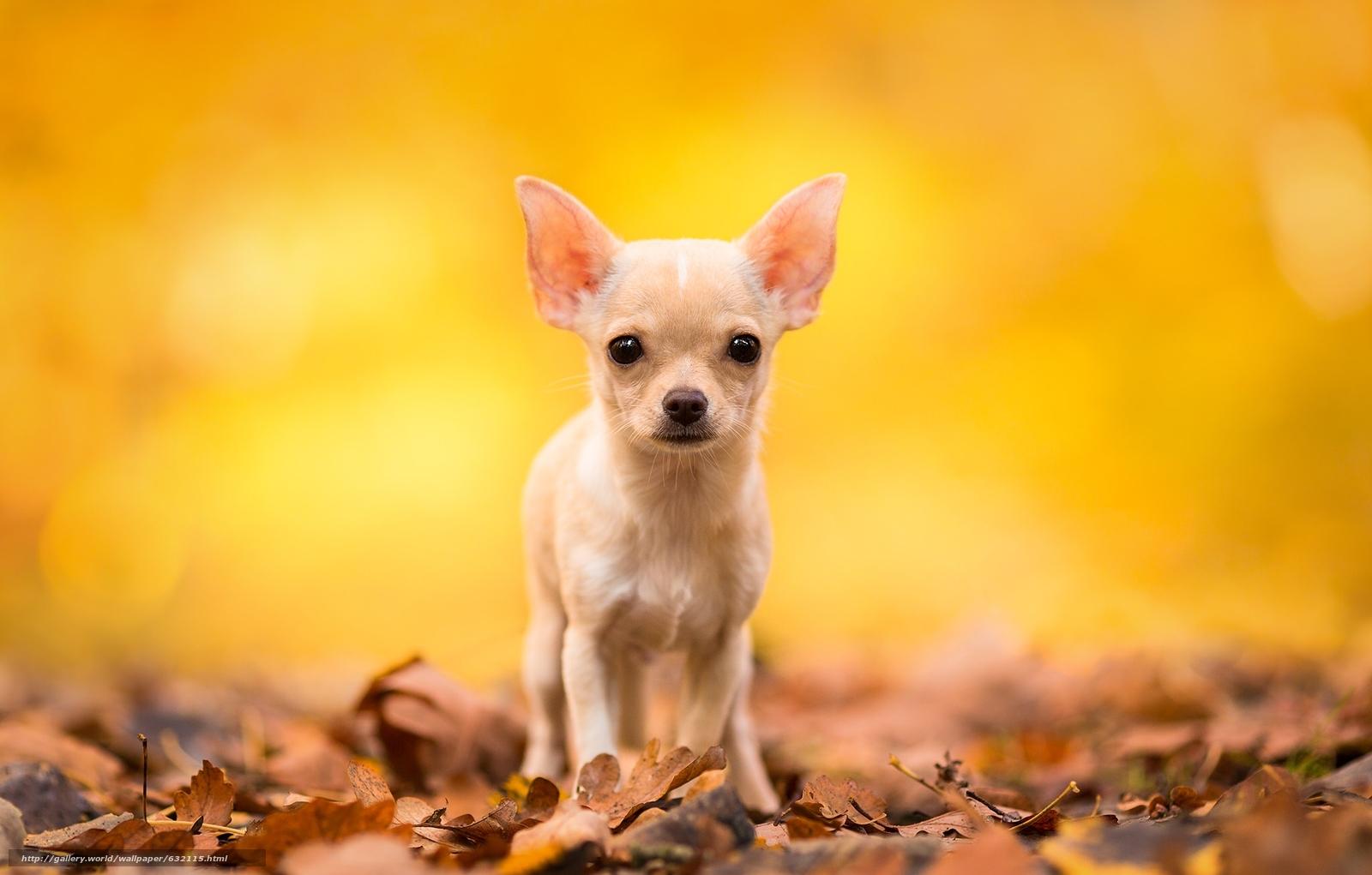 scaricare gli sfondi Chihuahua,  cane,  cane bastardo,  pecorina Sfondi gratis per la risoluzione del desktop 2048x1307 — immagine №632115