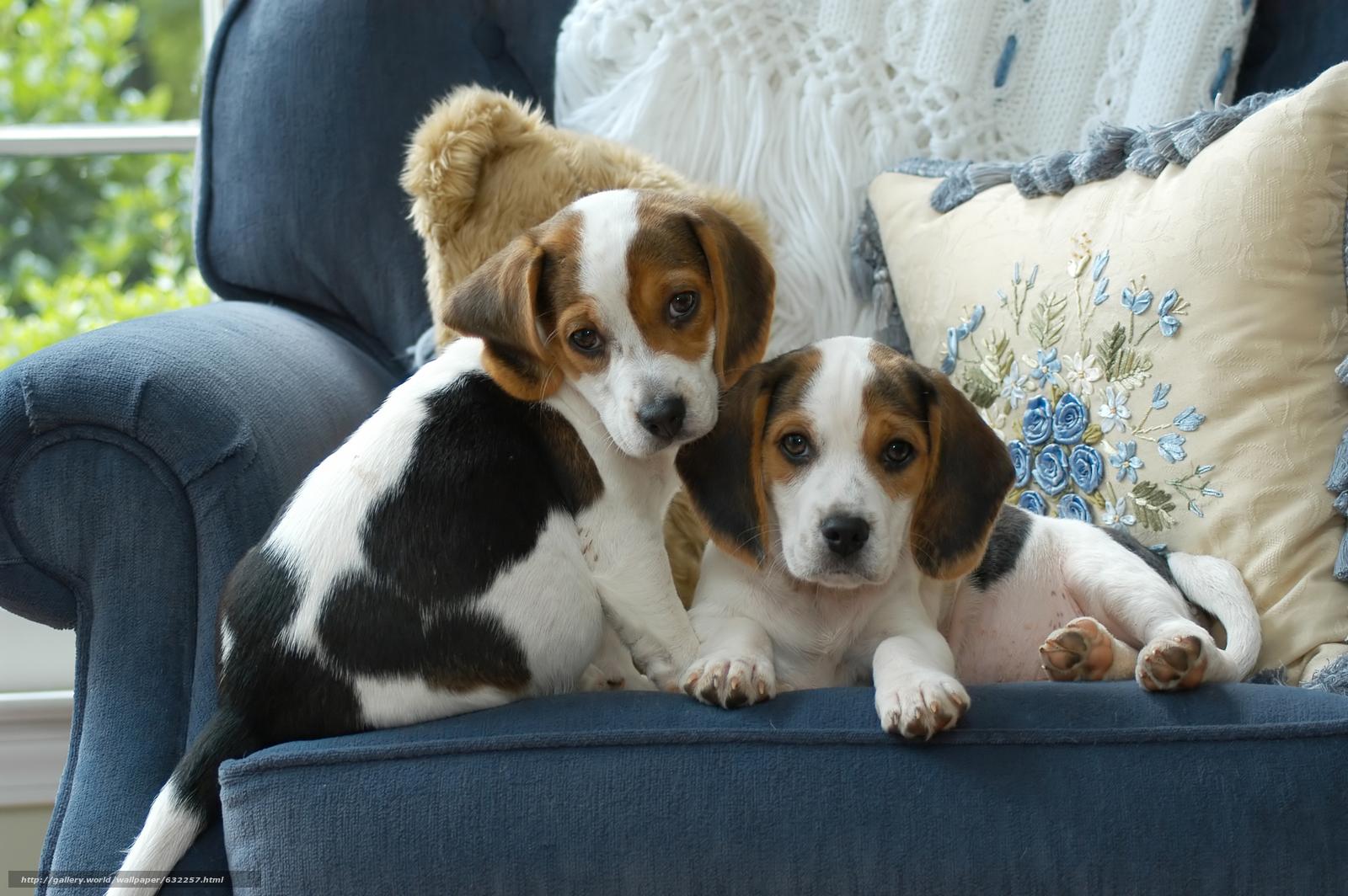 Скачать обои Бигль,  собаки,  щенки,  малыши бесплатно для рабочего стола в разрешении 6016x4000 — картинка №632257