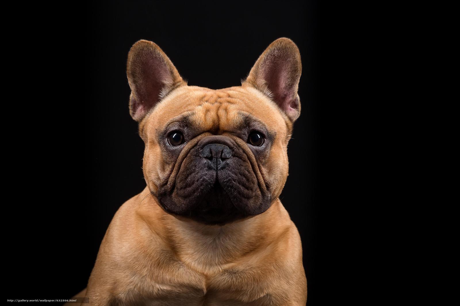Descargar gratis bulldog franc s perro hocico ver - Bulldog frances gratis madrid ...