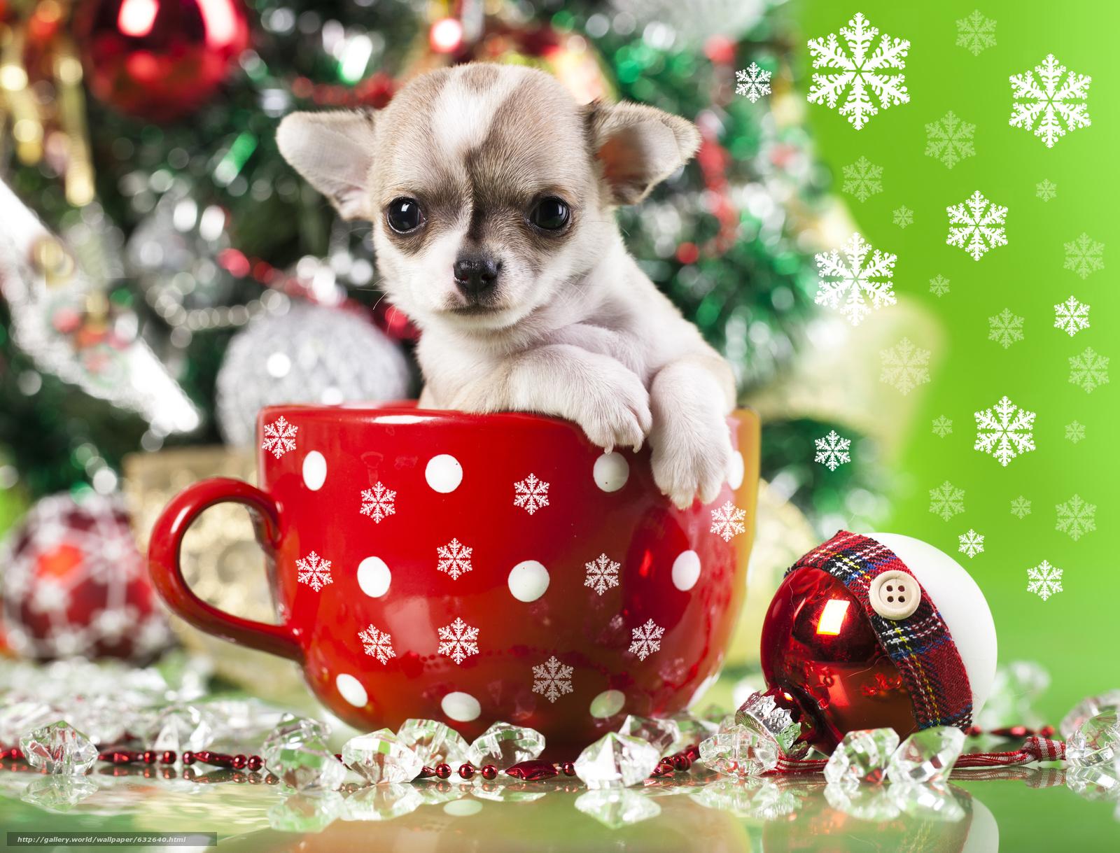 scaricare gli sfondi Capodanno,  Chihuahua,  cane,  cucciolo Sfondi gratis per la risoluzione del desktop 4561x3476 — immagine №632640