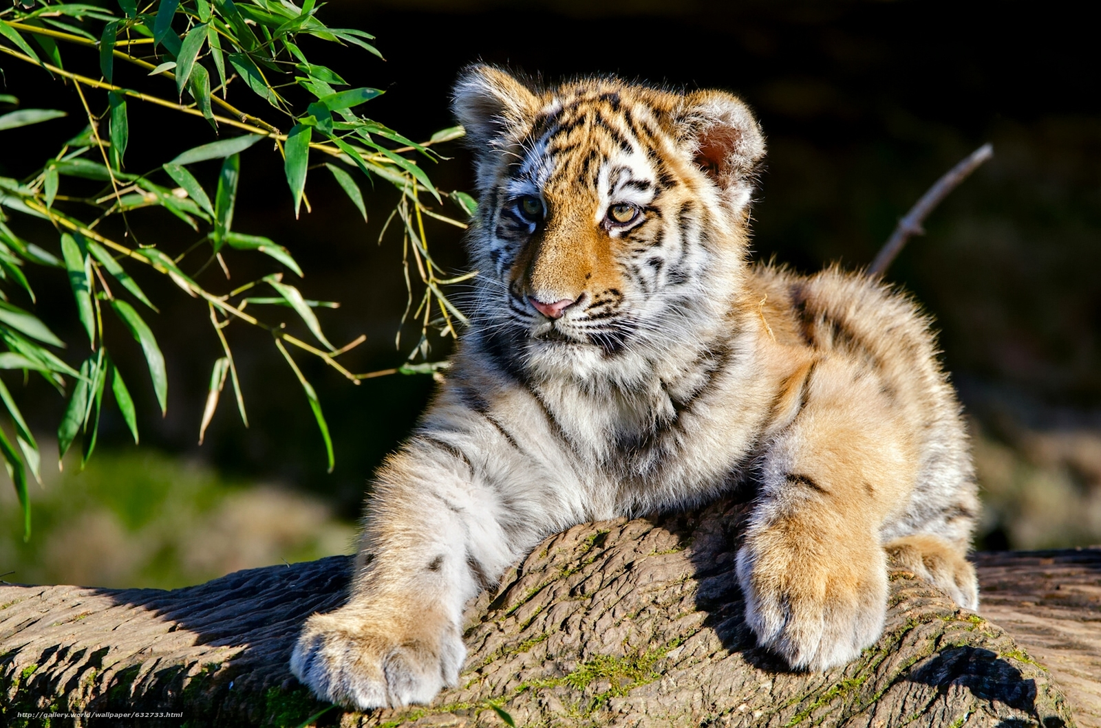 baby tiger images | Cute Tiger Baby Wallpapers Pictures Photos ...