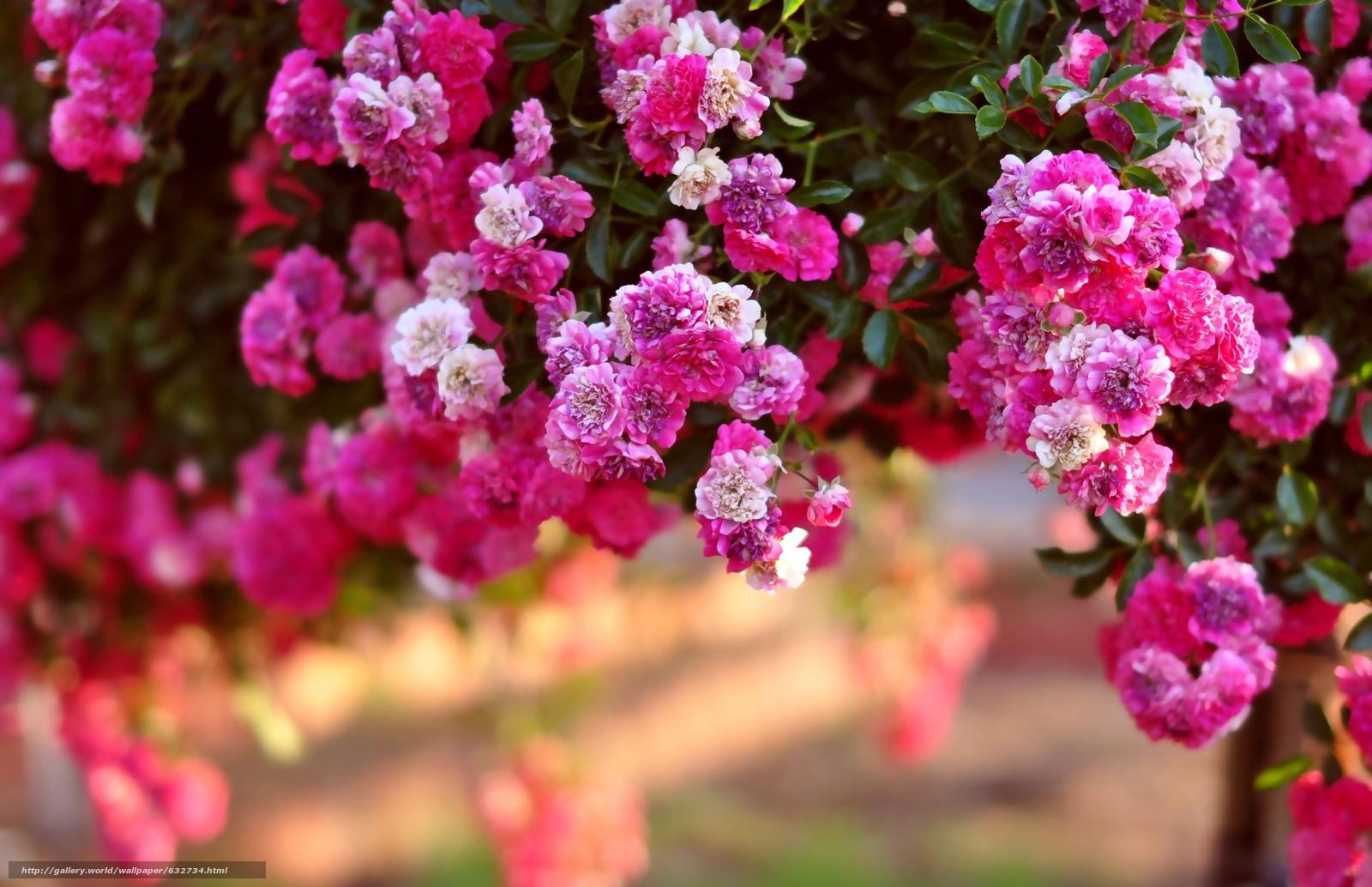 Скачать обои розовый куст,  розы,  куст бесплатно для рабочего стола в разрешении 3021x1952 — картинка №632734