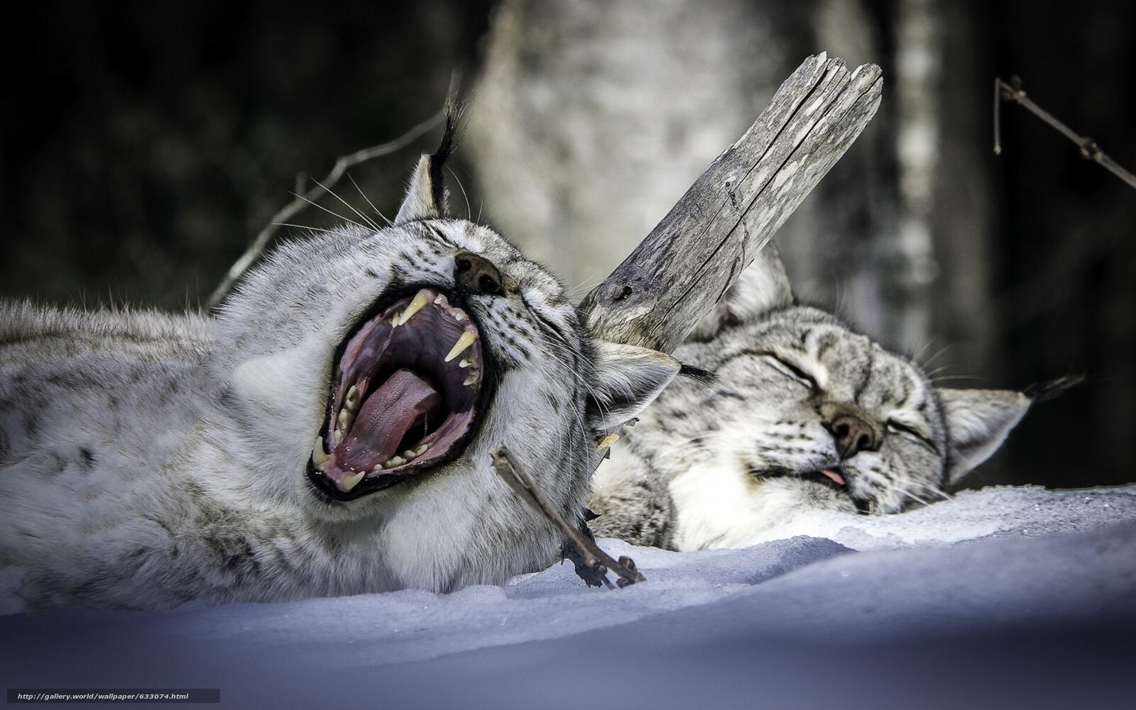 Скачать обои рысь,  парочка,  отдых,  сон бесплатно для рабочего стола в разрешении 1920x1201 — картинка №633074
