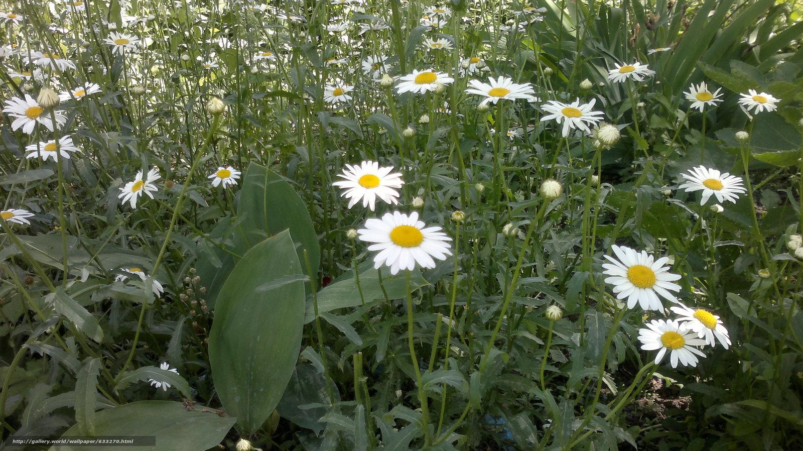 Скачать обои цветы,  лето,  ромашки бесплатно для рабочего стола в разрешении 3264x1832 — картинка №633270