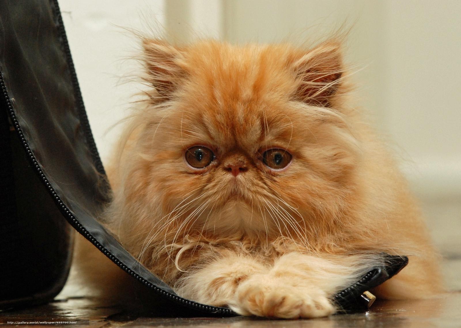 обои кошки для рабочего стола персы № 623688 бесплатно