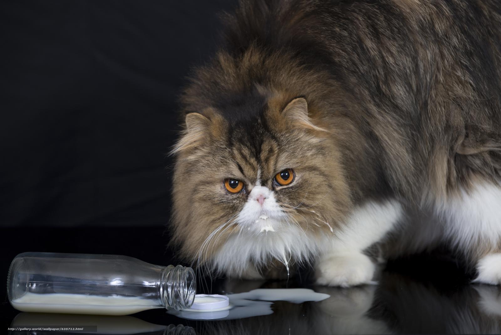 Скачать обои персидская кошка,  кот,  пушистый,  взгляд бесплатно для рабочего стола в разрешении 7111x4746 — картинка №635712