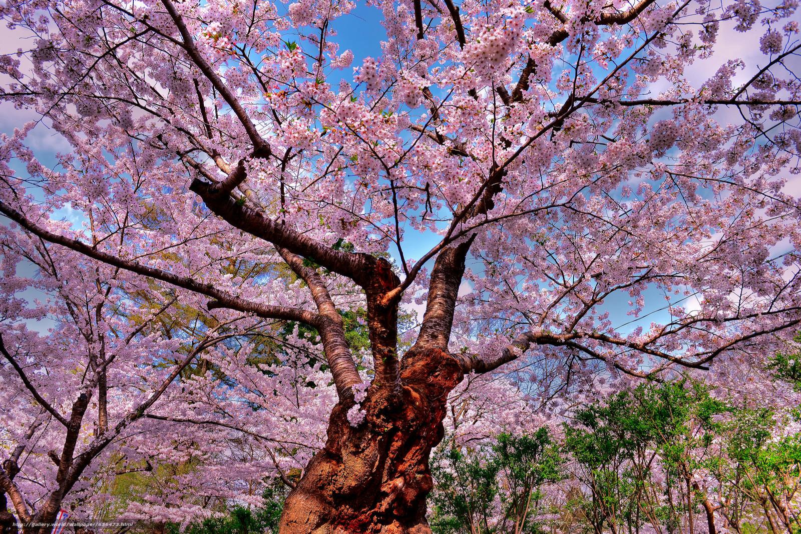 下载壁纸 樱桃,  树,  花卉,  性质 免费为您的桌面分辨率的壁纸 2048x1367 — 图片 №636473