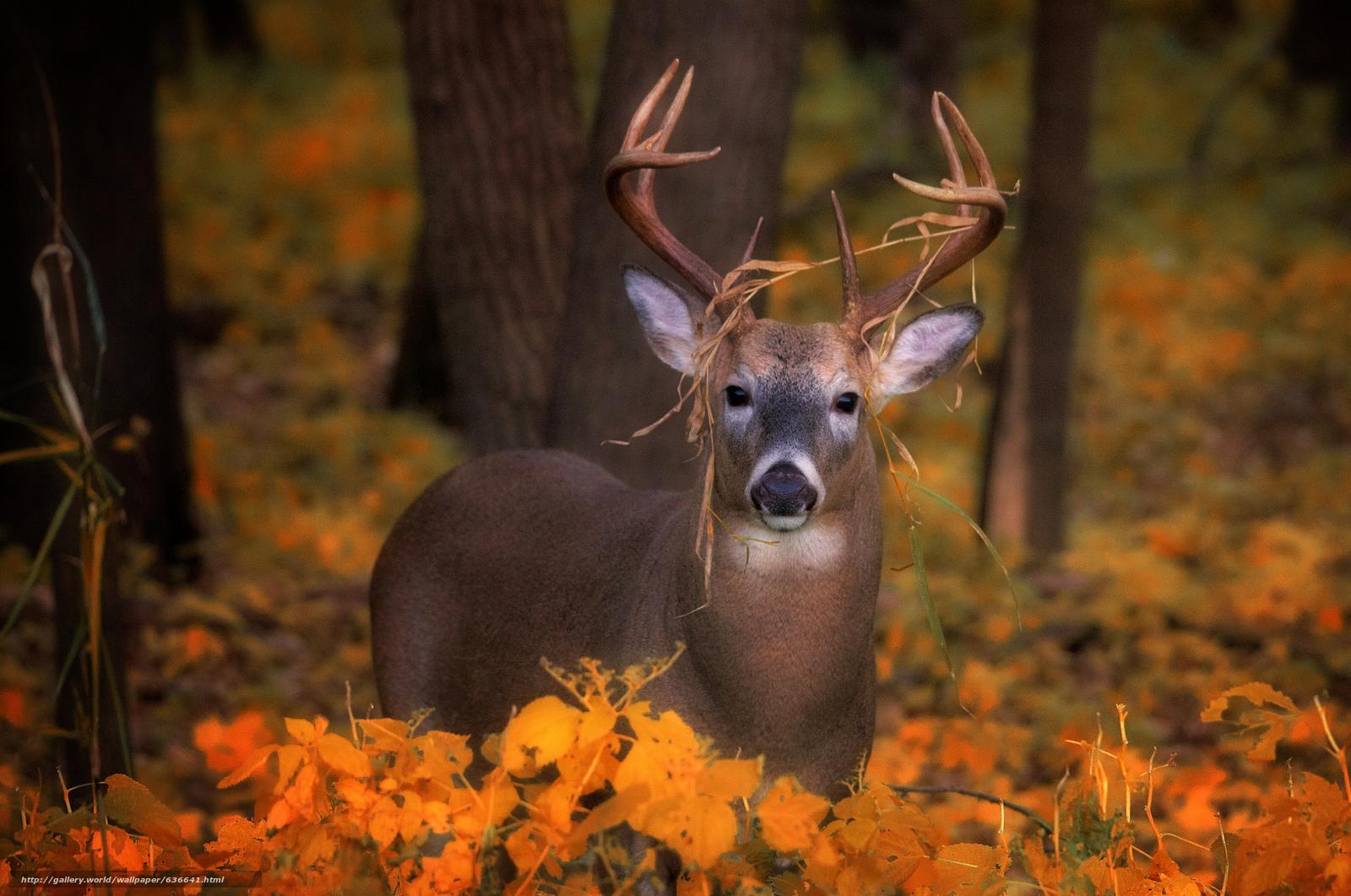 Descargar gratis ciervo,  ver,  otoño Fondos de escritorio en la resolucin 2048x1358 — imagen №636641