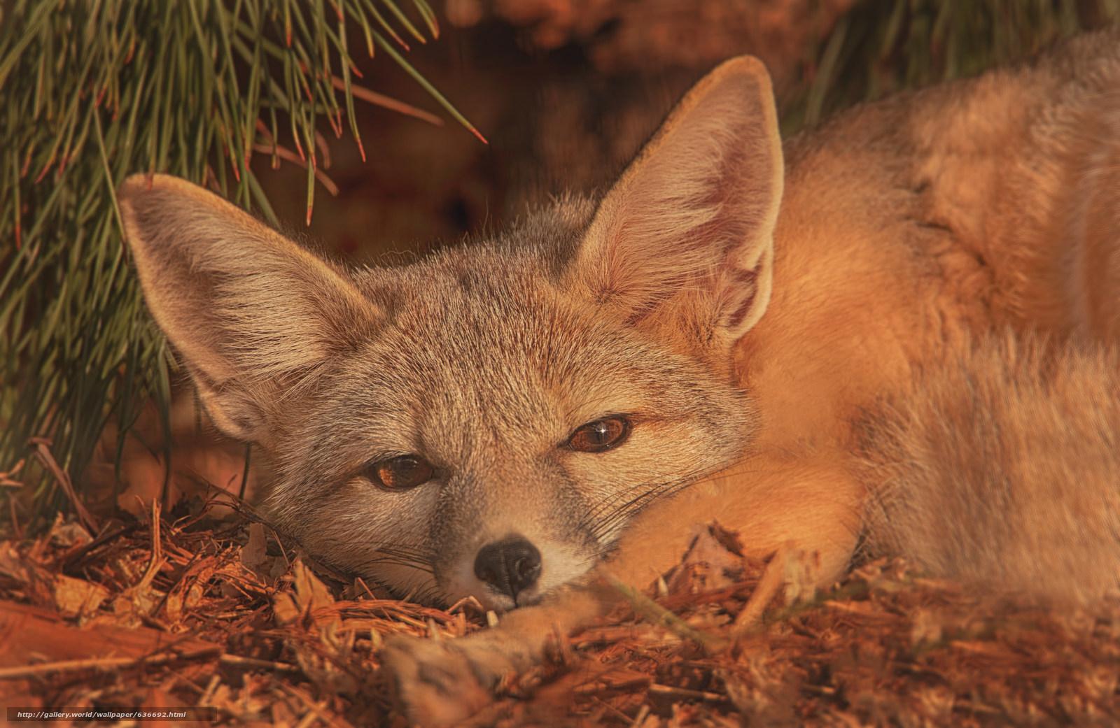 scaricare gli sfondi Volpe americana,  fox,  museruola,  orecchie Sfondi gratis per la risoluzione del desktop 2048x1332 — immagine №636692