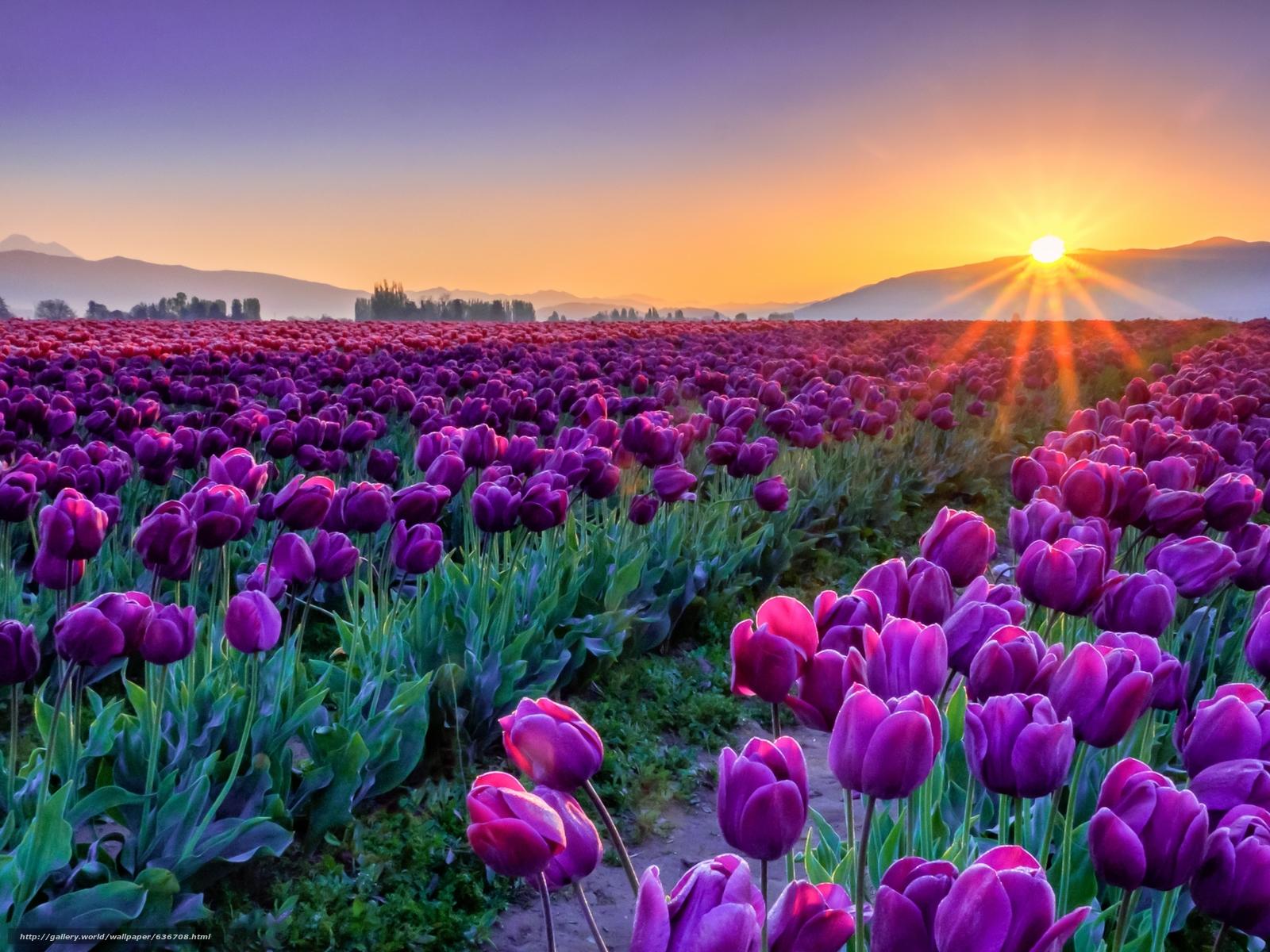 Scaricare gli sfondi tramonto campo tulipani fiori for Immagini per desktop fiori