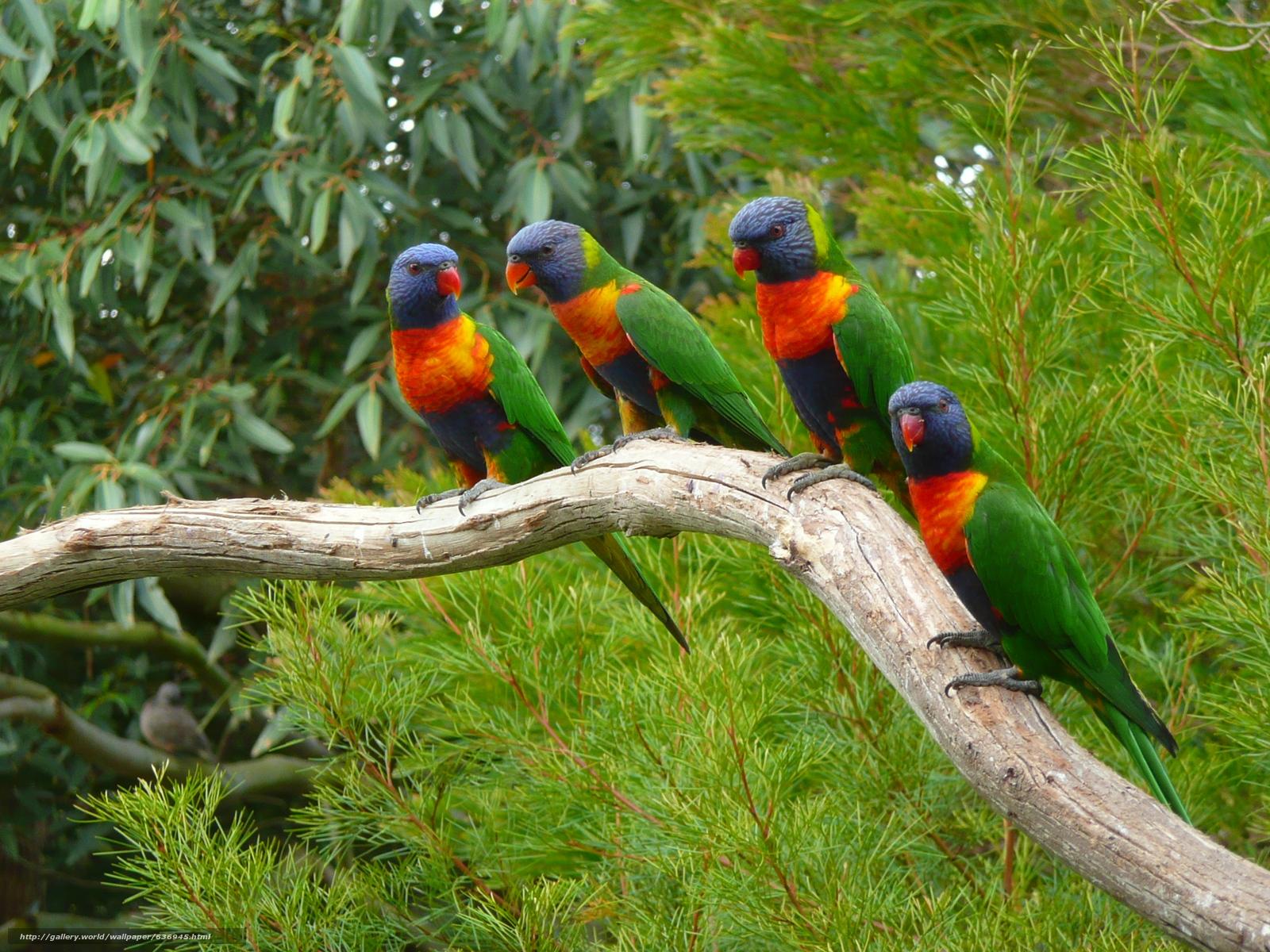 scaricare gli sfondi Multi Lorichetto,  Lorikeet,  pappagallo,  uccello Sfondi gratis per la risoluzione del desktop 2560x1920 — immagine №636945