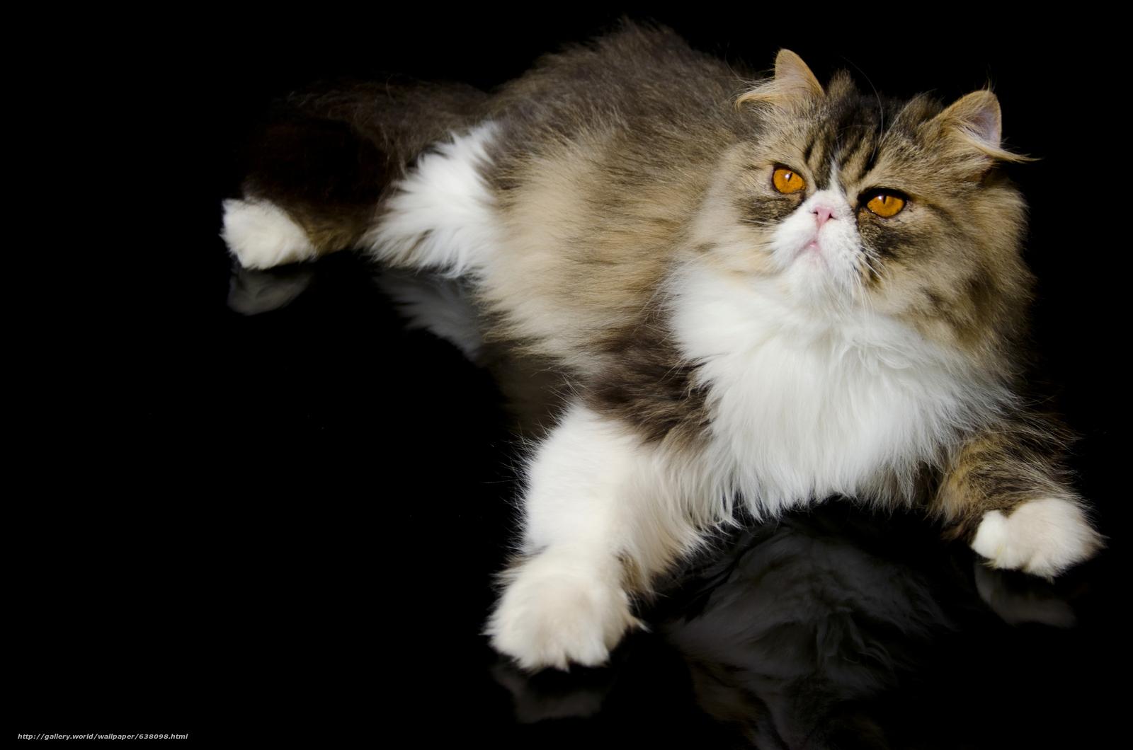 Download wallpaper Persian cat,  COTE,  Persian,  Foot free desktop wallpaper in the resolution 4928x3264 — picture №638098