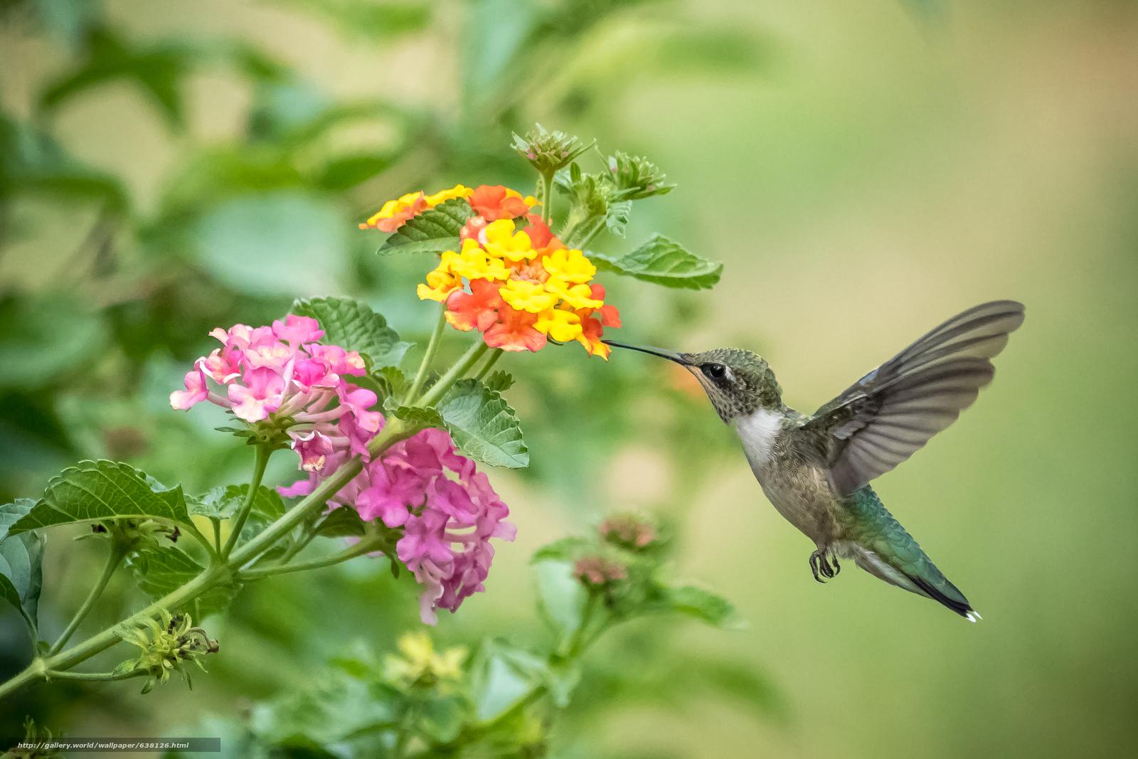 Скачать обои цветок,  птица,  колибри бесплатно для рабочего стола в разрешении 3000x2000 — картинка №638126
