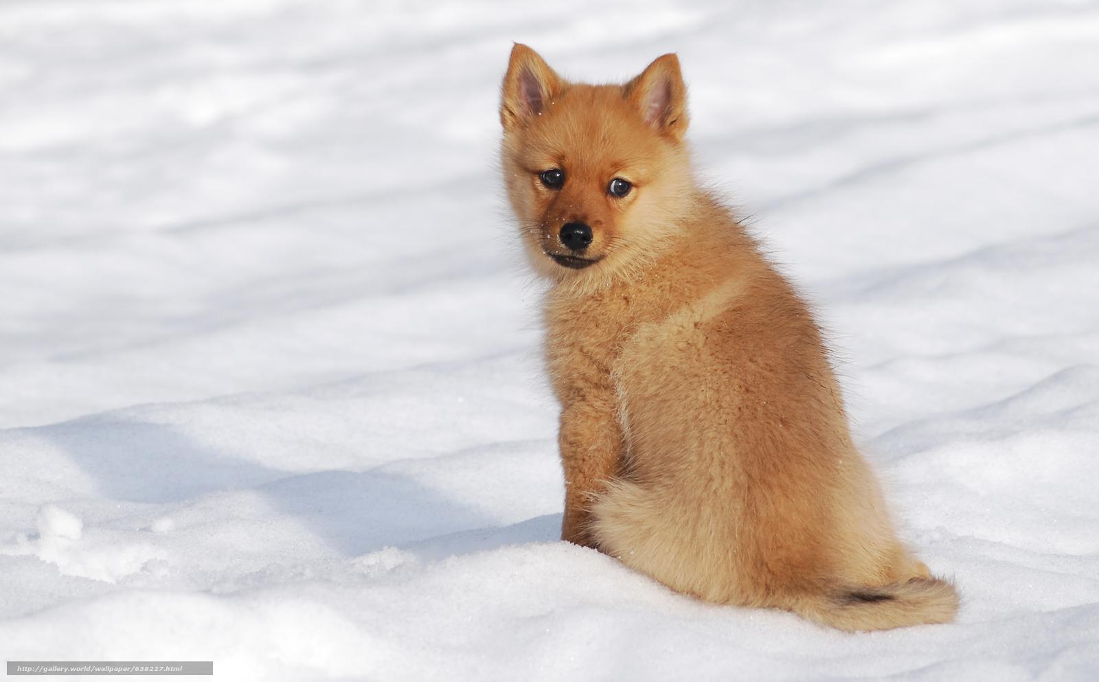 Tlcharger fond d 39 ecran spitz finlandais chien chiot for Fond ecran hiver animaux