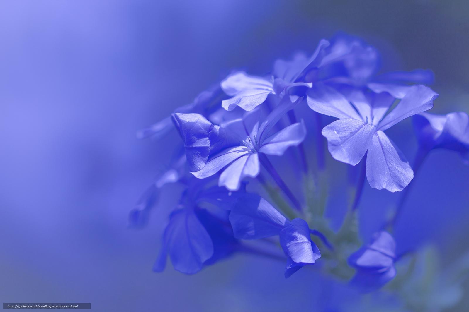 Descargar gratis flores azules,  flora,  Macro Fondos de escritorio en la resolucin 2048x1365 — imagen №638941