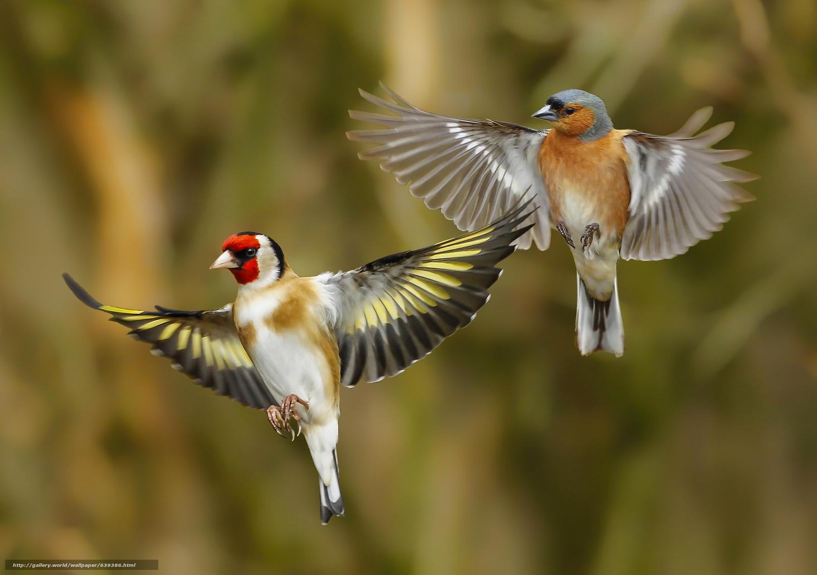 Download wallpaper goldfinch,  finch,  birds,  wings free desktop wallpaper in the resolution 2048x1442 — picture №639386