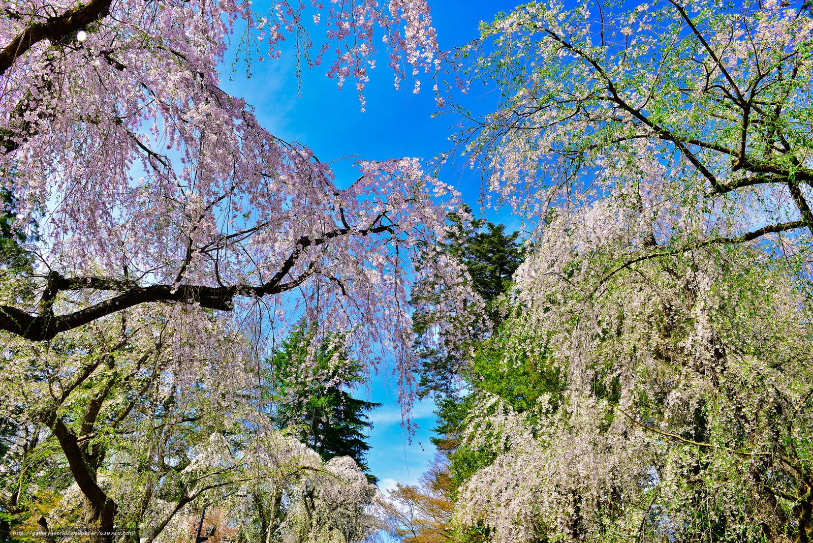 Download wallpaper park,  trees,  Sakura,  Japan free desktop wallpaper in the resolution 2048x1367 — picture №639710