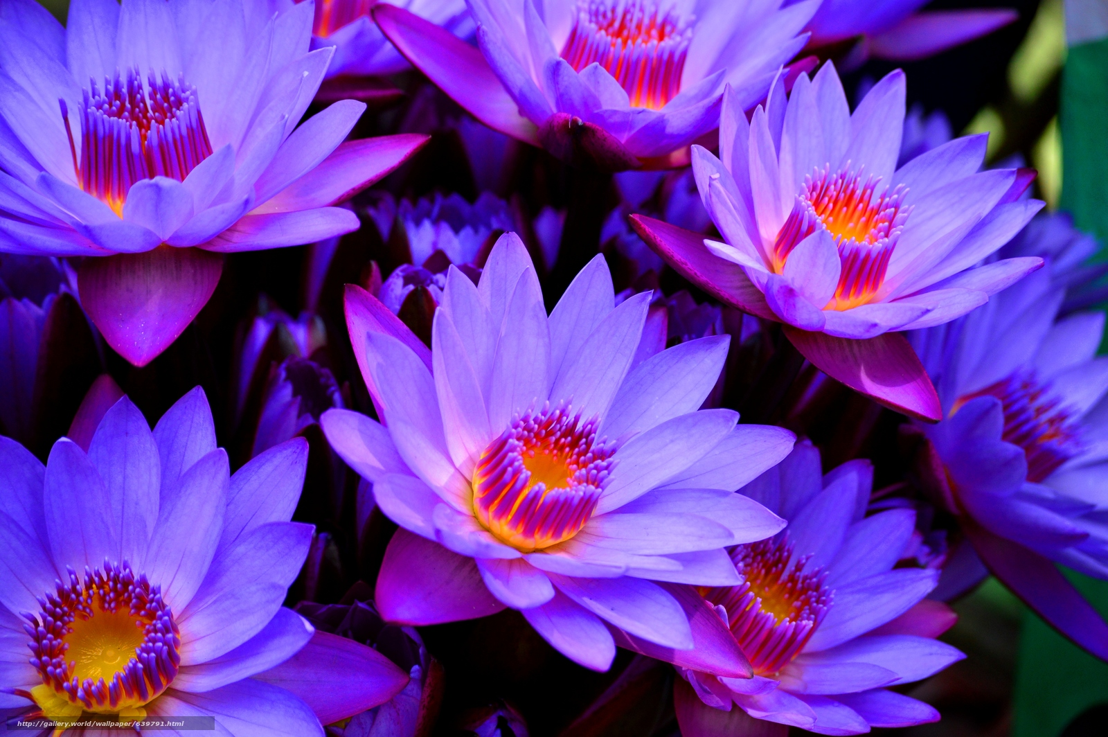 Download wallpaper uoluboy lotus,  lily blue,  Macro free desktop wallpaper in the resolution 4512x3000 — picture №639791