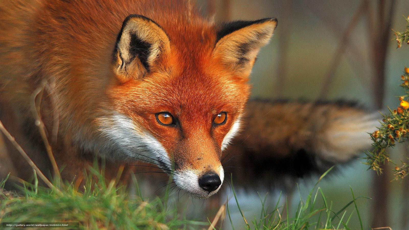 下载壁纸 狐狸,  狐狸,  狐狸,  大鳄 免费为您的桌面分辨率的壁纸 1920x1080 — 图片 №640064