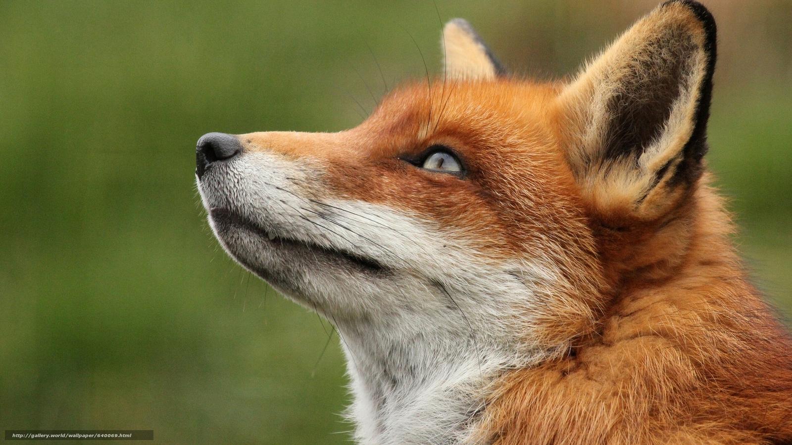 下载壁纸 狐狸,  狐狸,  狐狸,  大鳄 免费为您的桌面分辨率的壁纸 1920x1080 — 图片 №640069