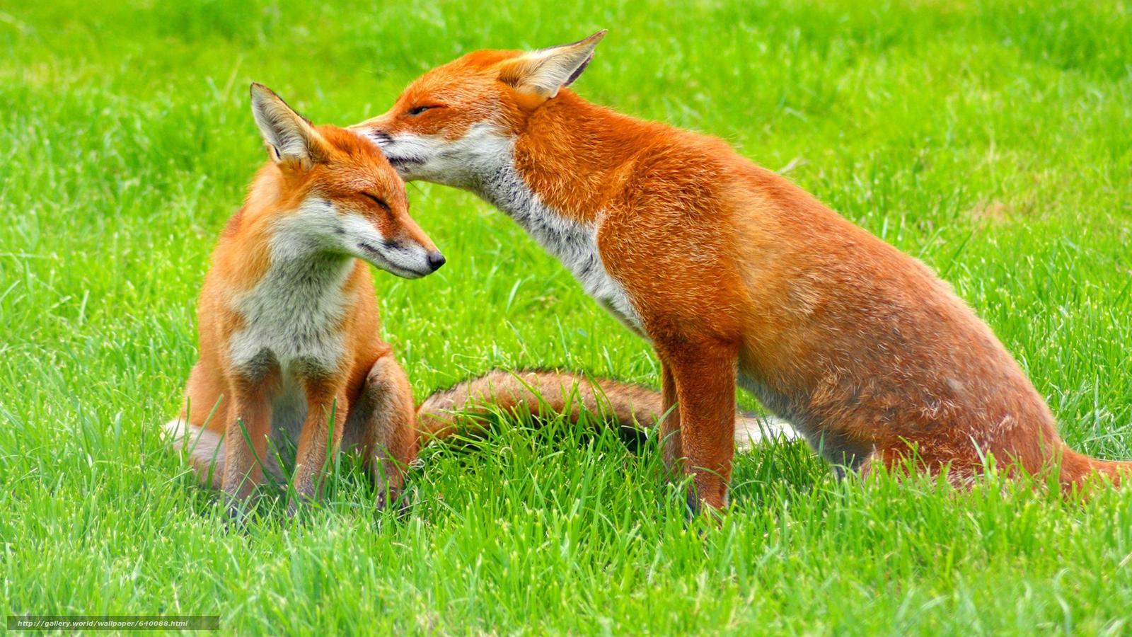 下载壁纸 狐狸,  狐狸,  狐狸,  大鳄 免费为您的桌面分辨率的壁纸 1920x1080 — 图片 №640088