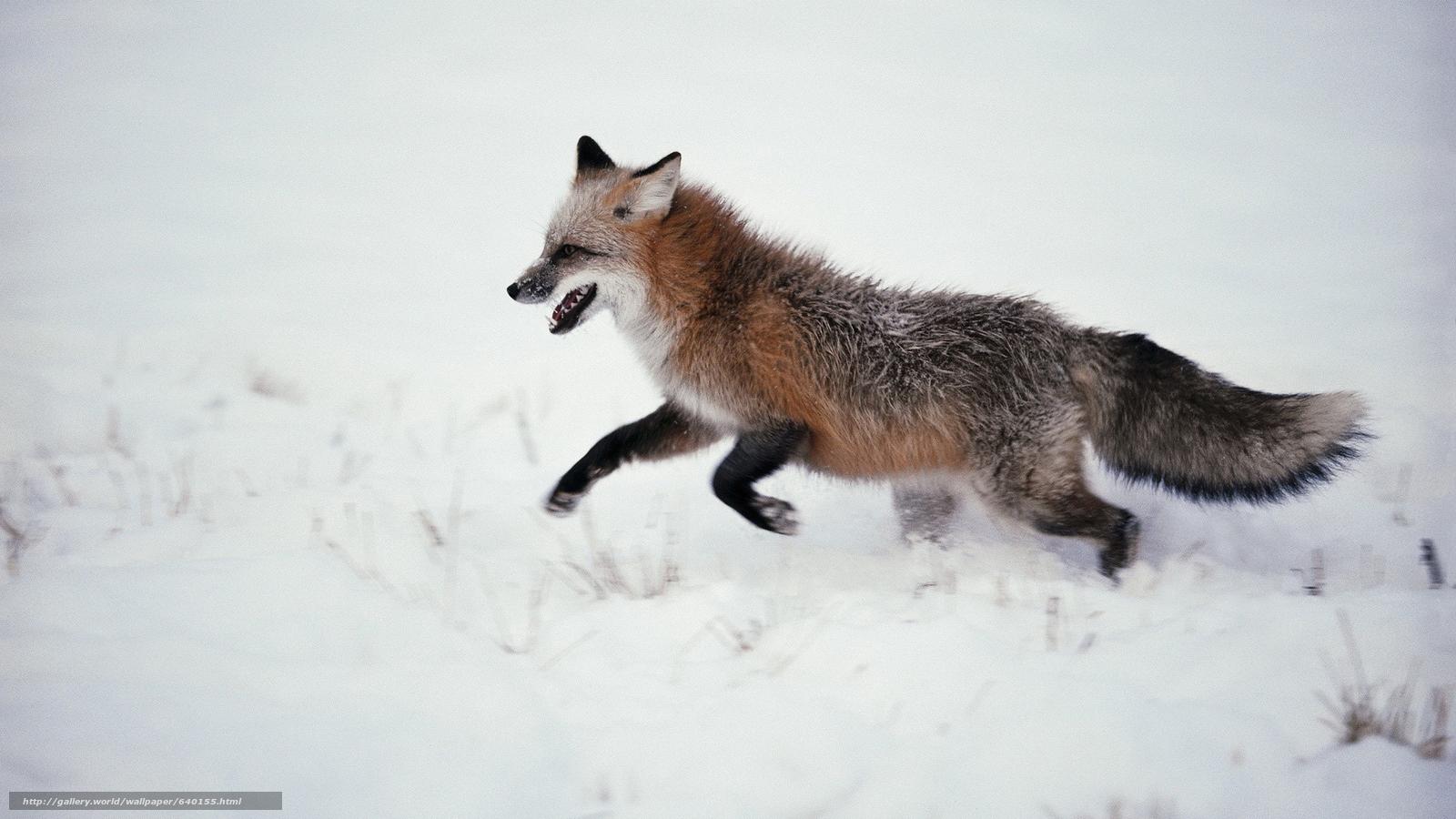 scaricare gli sfondi fox,  Fox,  volpi,  predatori Sfondi gratis per la risoluzione del desktop 1920x1080 — immagine №640155