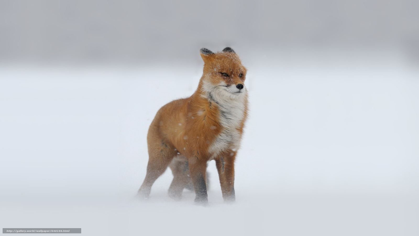 scaricare gli sfondi fox,  Fox,  volpi,  predatori Sfondi gratis per la risoluzione del desktop 1920x1080 — immagine №640156