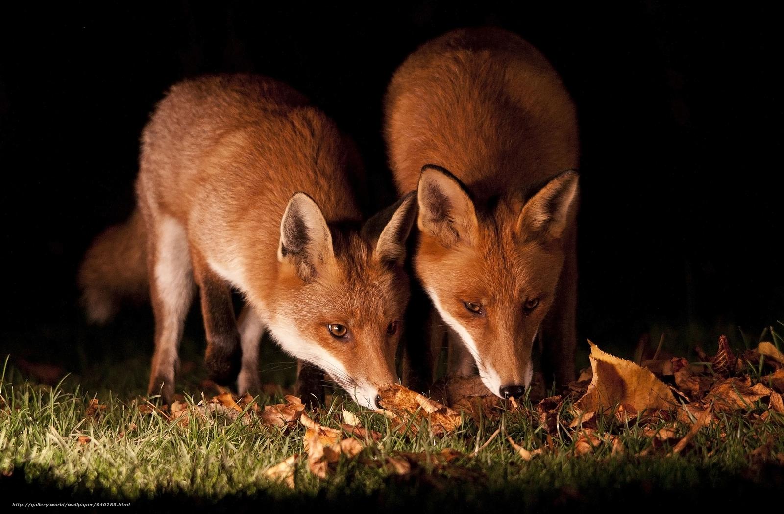 Скачать обои лиса,  лисица,  животное бесплатно для рабочего стола в разрешении 2048x1341 — картинка №640283