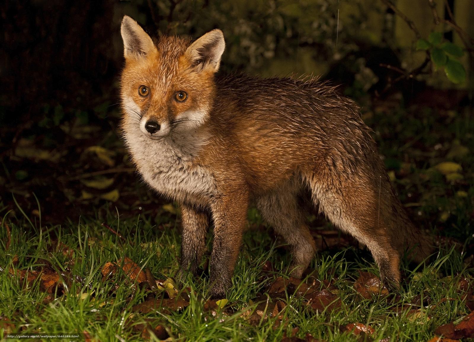 Tlcharger fond d 39 ecran fox fox animaux fonds d 39 ecran for Image fond ecran animaux