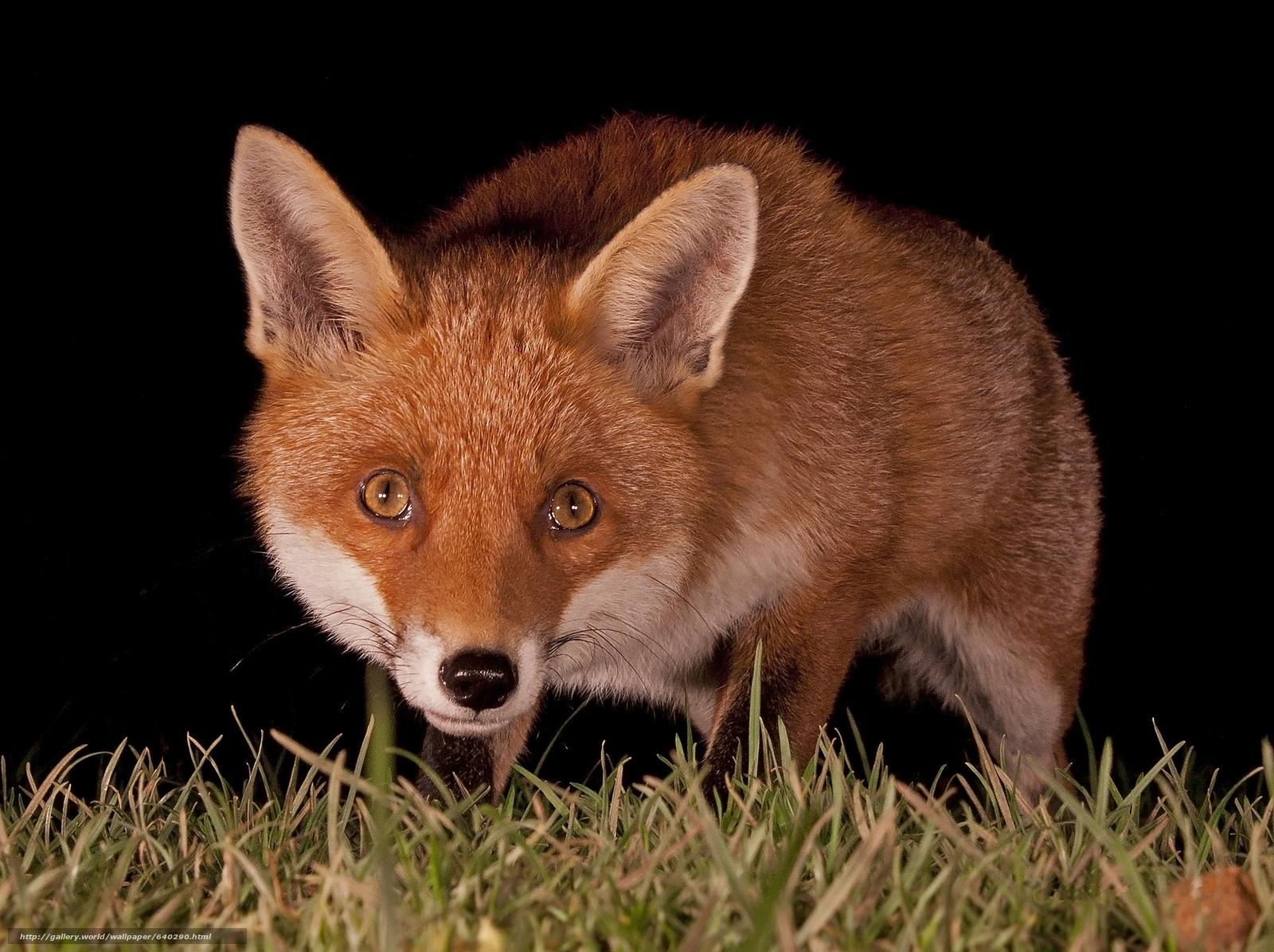 Descargar gratis zorro,  zorro,  animal Fondos de escritorio en la resolucin 2048x1529 — imagen №640290