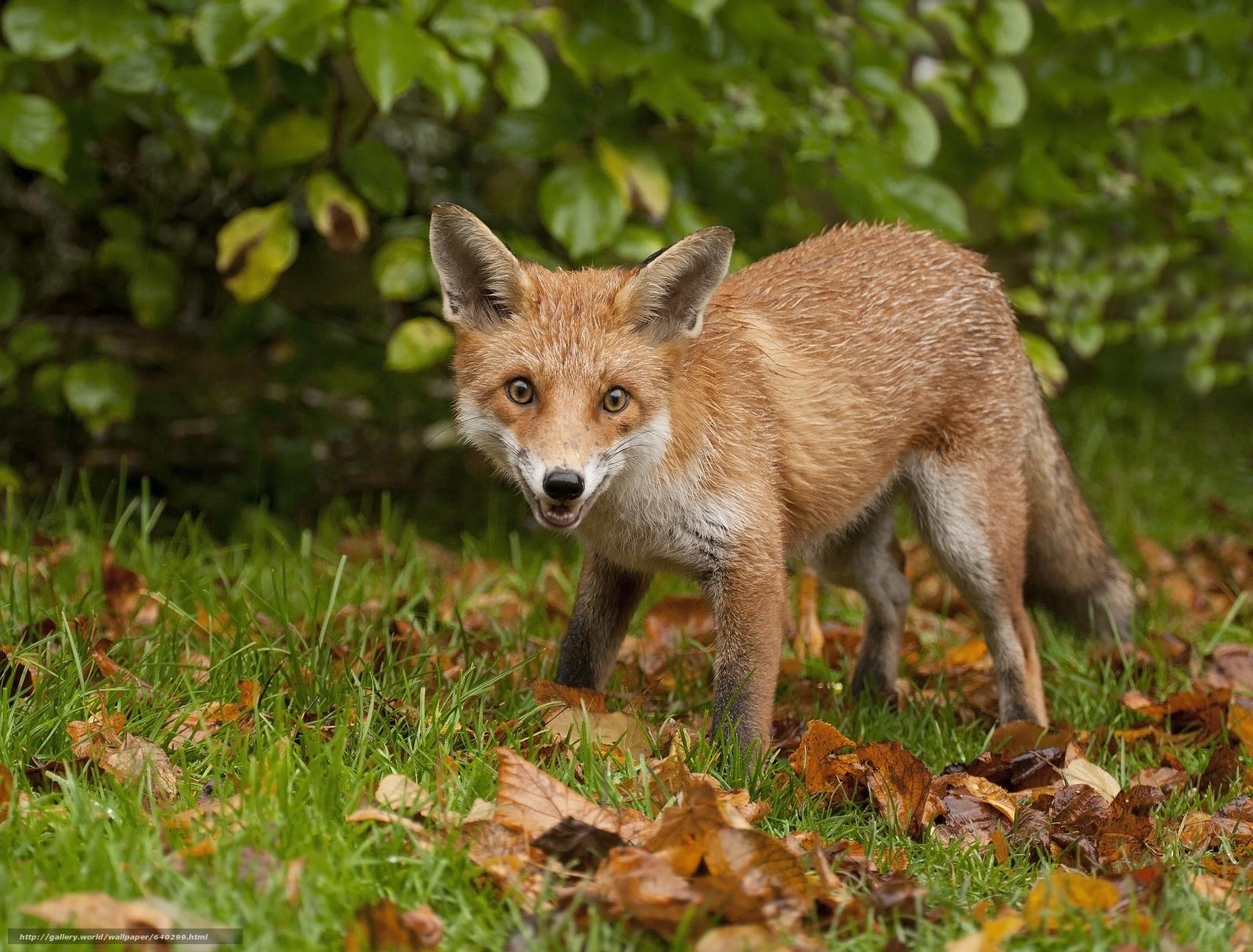 scaricare gli sfondi fox,  fox,  animale Sfondi gratis per la risoluzione del desktop 2048x1556 — immagine №640299