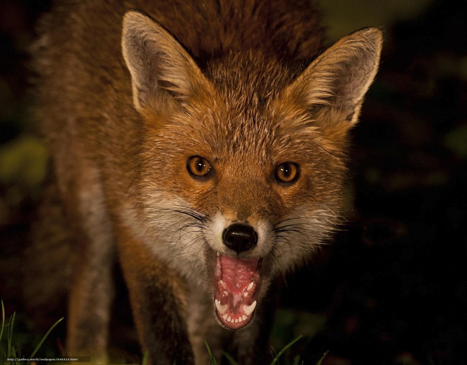 Скачать обои лиса,  лисица,  животное бесплатно для рабочего стола в разрешении 2048x1600 — картинка №640315