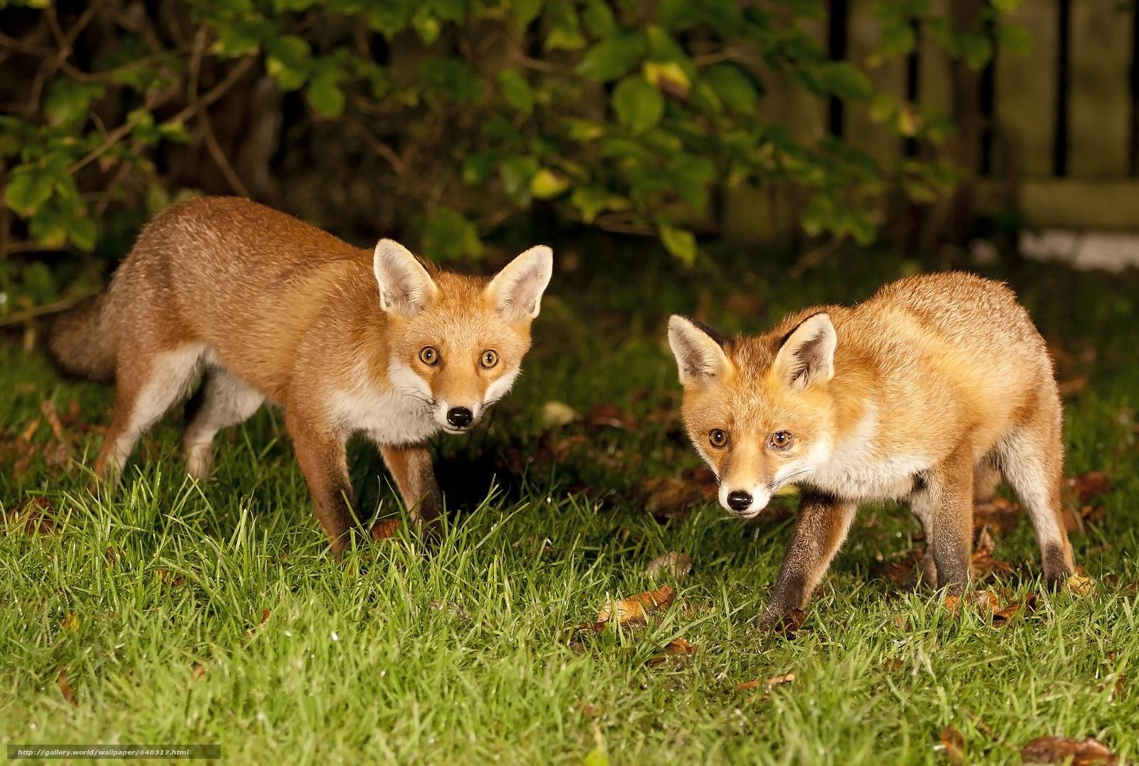 scaricare gli sfondi fox,  fox,  animale Sfondi gratis per la risoluzione del desktop 2048x1377 — immagine №640317