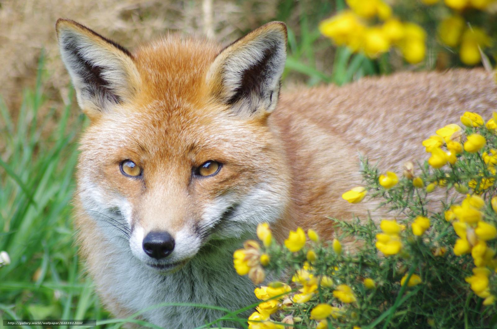 Download wallpaper fox,  fox,  animal free desktop wallpaper in the resolution 4928x3264 — picture №640352