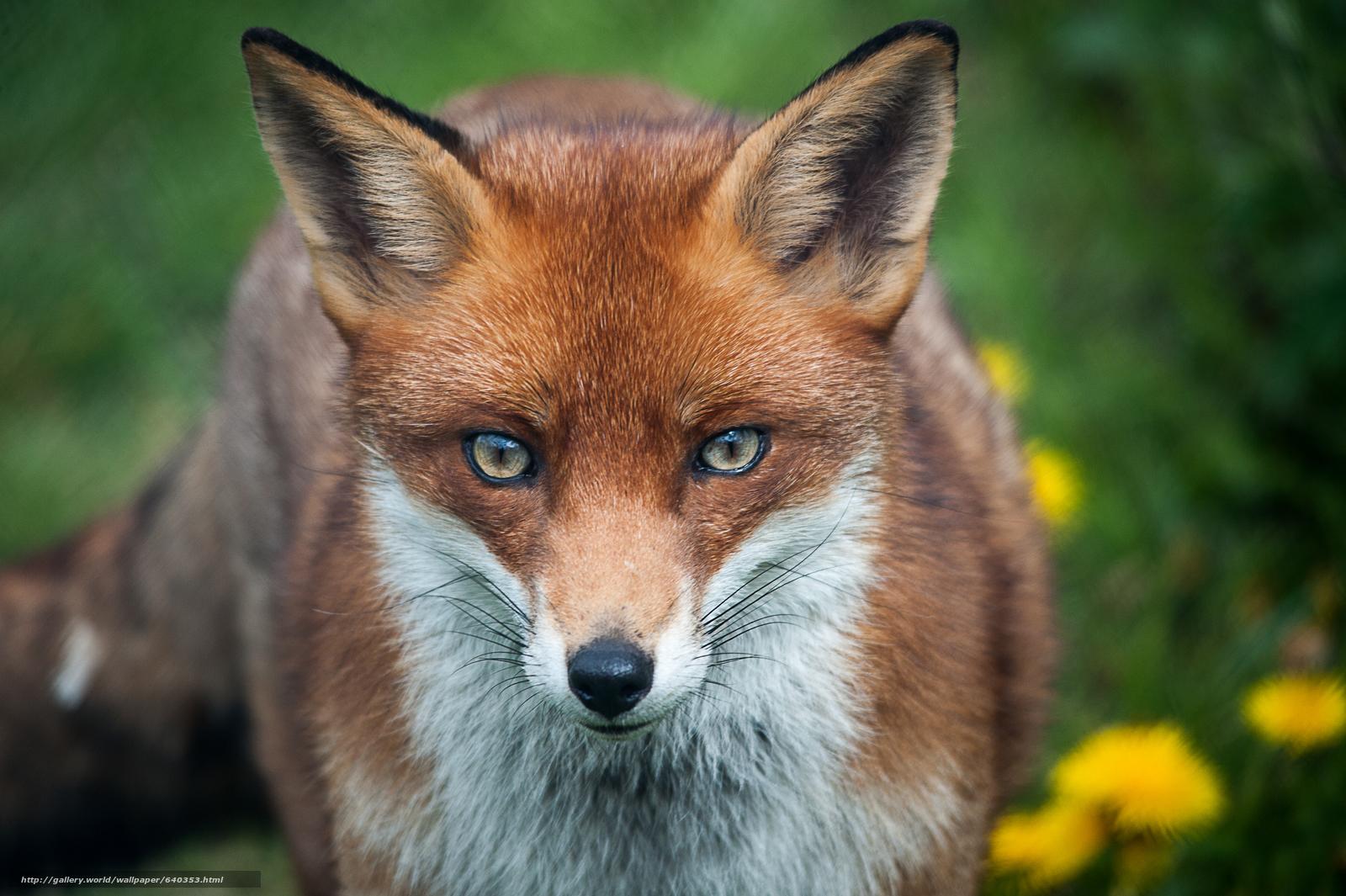 下载壁纸 狐狸,  狐狸,  动物 免费为您的桌面分辨率的壁纸 4256x2832 — 图片 №640353