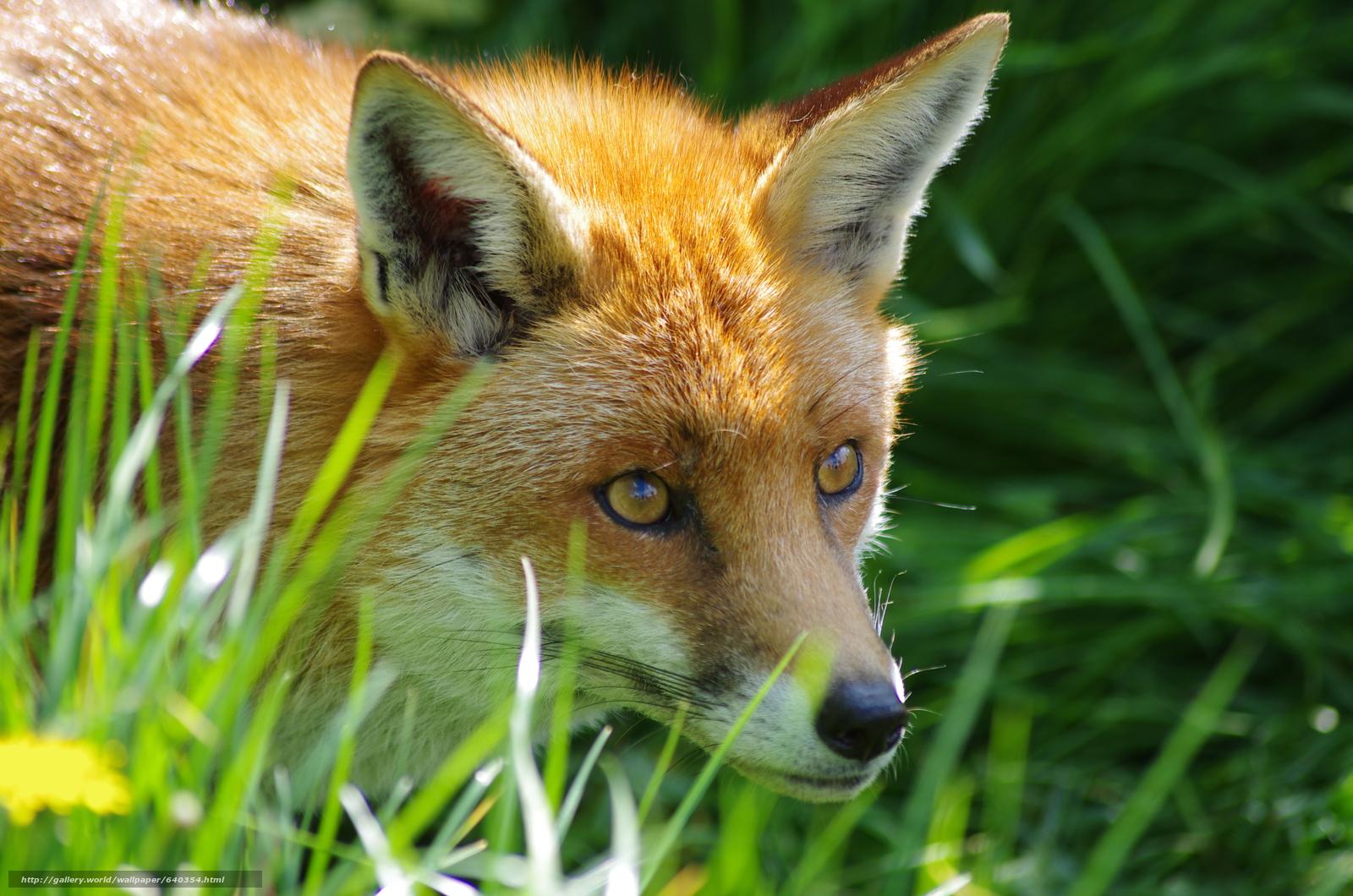 Download wallpaper fox,  fox,  animal free desktop wallpaper in the resolution 4928x3264 — picture №640354