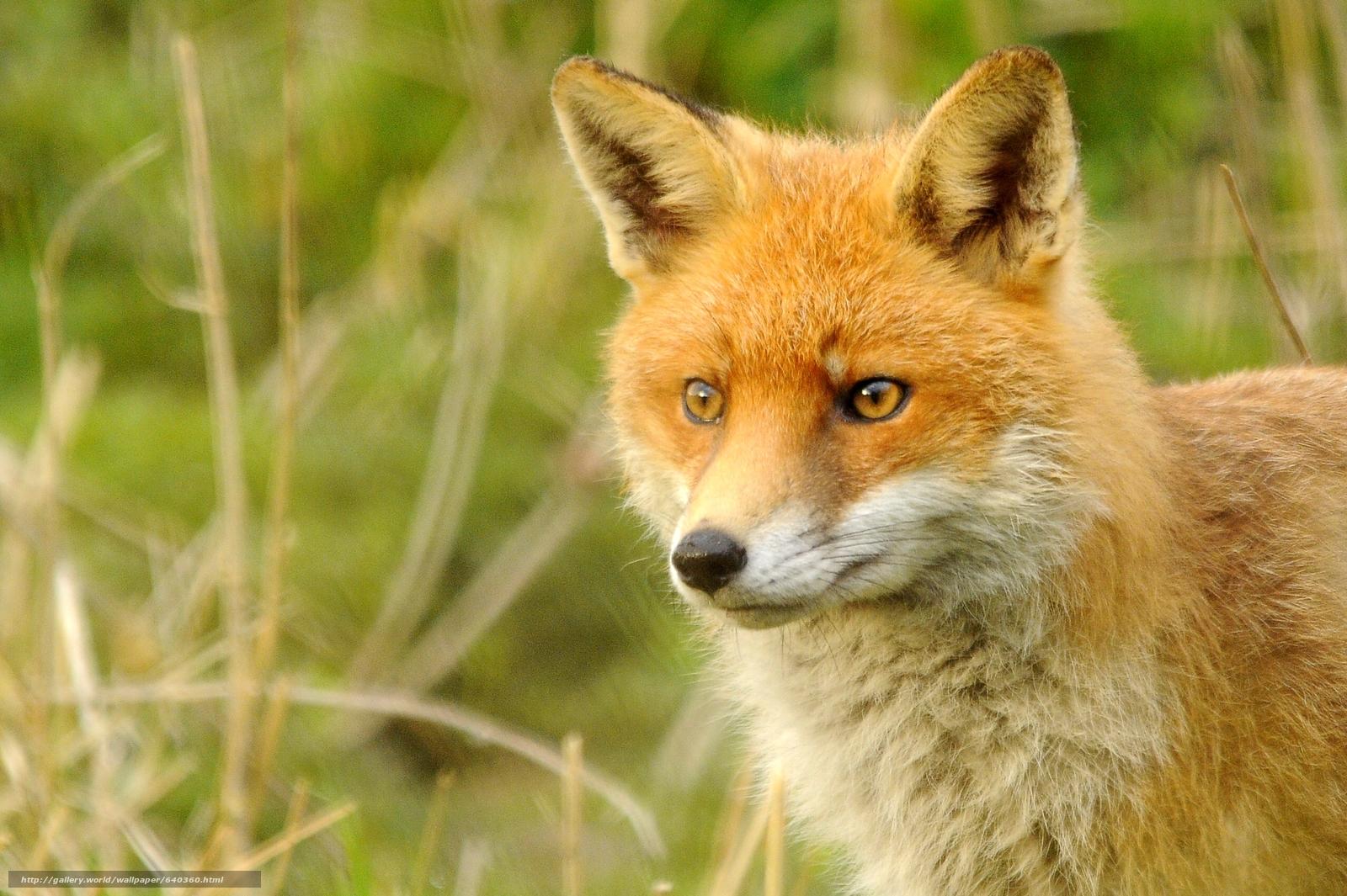 scaricare gli sfondi fox,  fox,  animale Sfondi gratis per la risoluzione del desktop 2560x1704 — immagine №640360