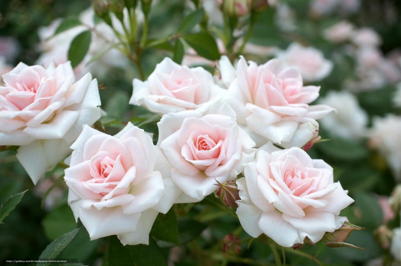 scaricare gli sfondi Roses,  GERMOGLI,  tenerezza Sfondi gratis per la risoluzione del desktop 2560x1704 — immagine №640428