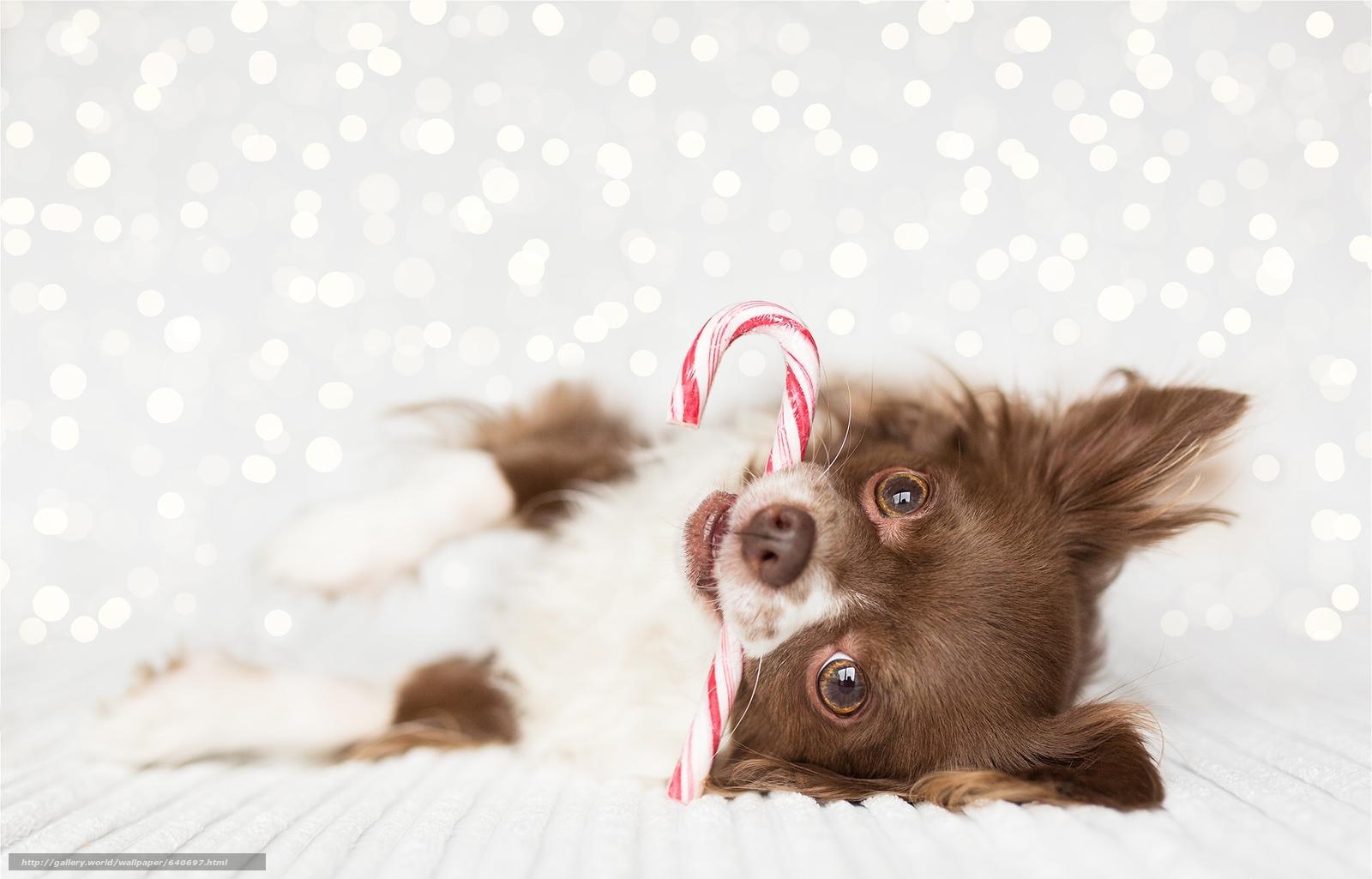 scaricare gli sfondi Chihuahua,  pecorina,  museruola,  visualizzare Sfondi gratis per la risoluzione del desktop 2048x1312 — immagine №640697