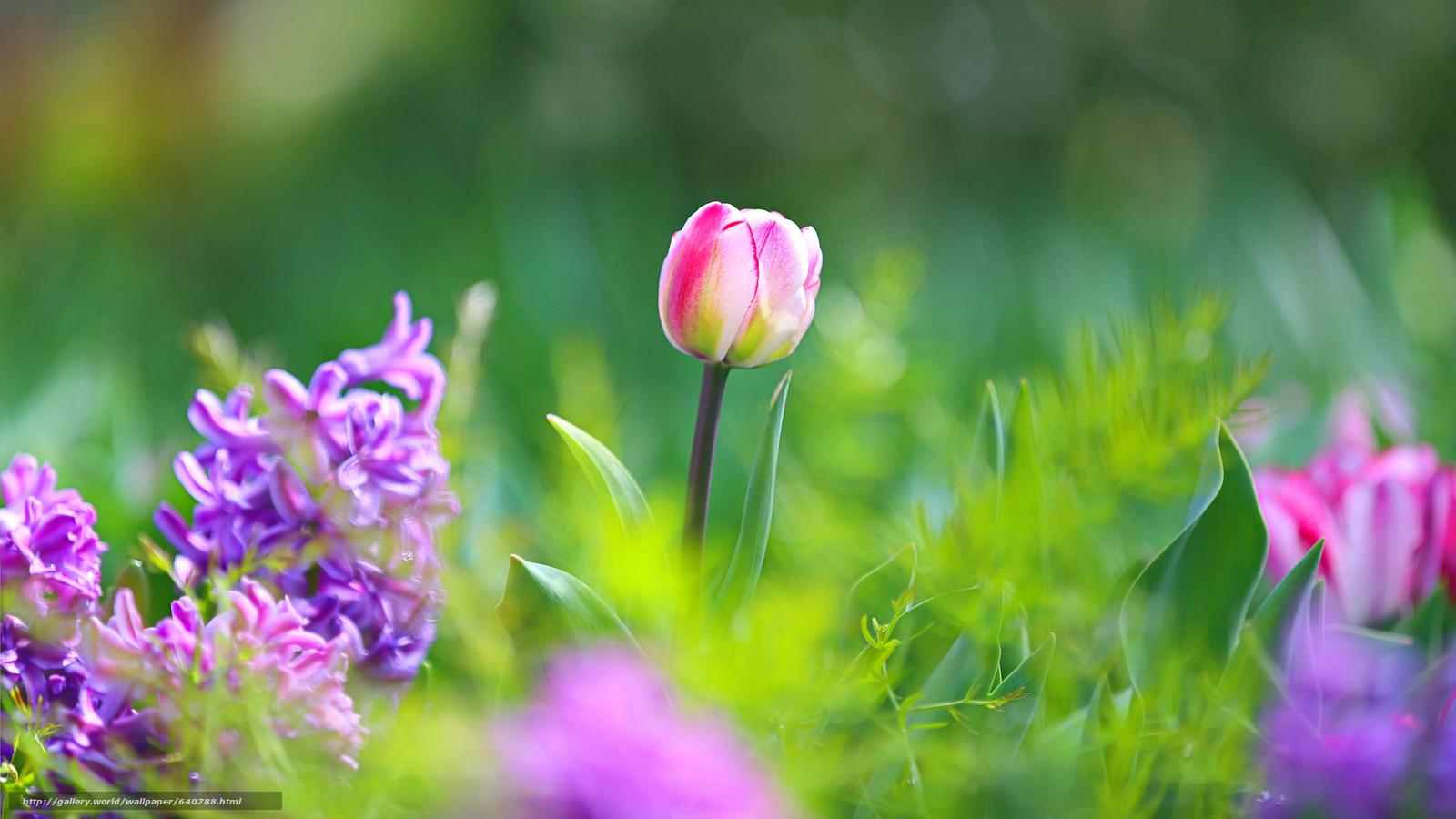 Descargar gratis tulipán,  TULIPANES,  Flores,  flor Fondos de escritorio en la resolucin 2048x1152 — imagen №640788