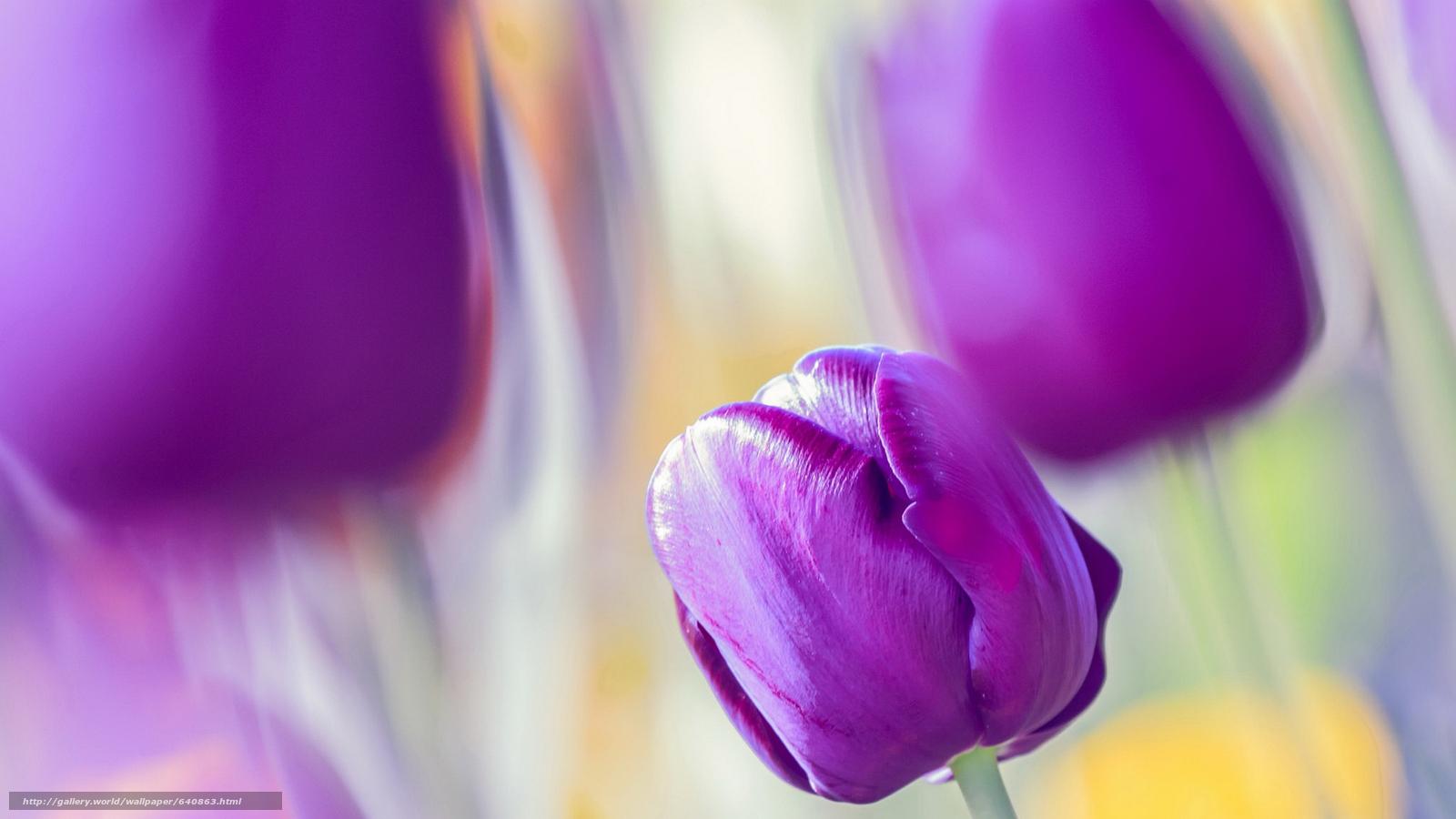 Скачать обои тюльпан,  тюльпаны,  цветы,  цветок бесплатно для рабочего стола в разрешении 2048x1152 — картинка №640863