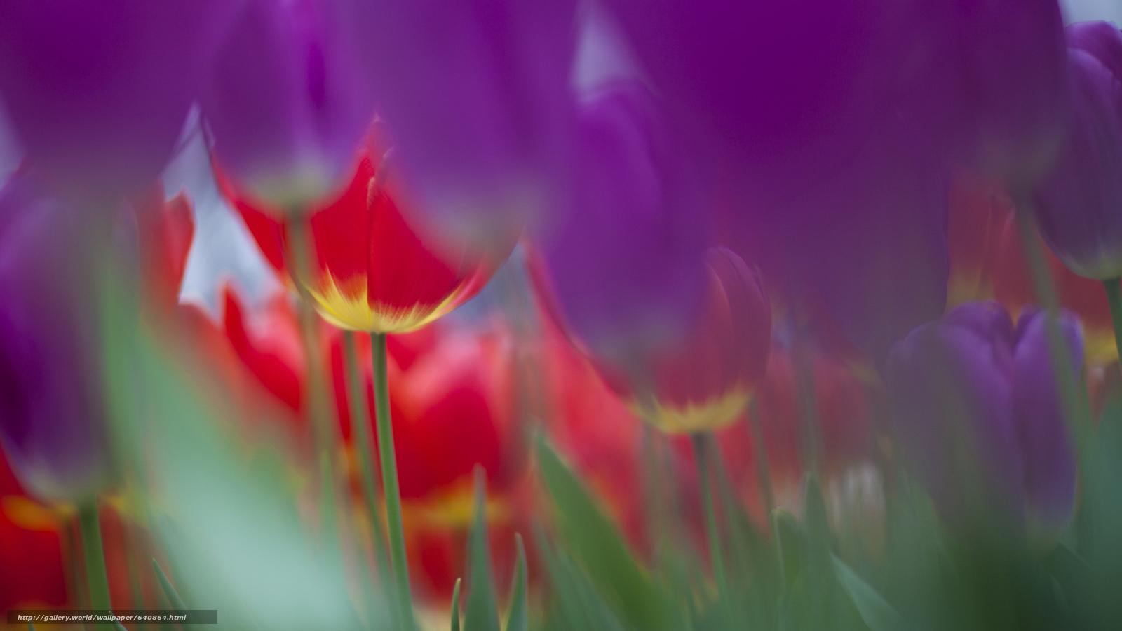 Скачать обои тюльпан,  тюльпаны,  цветы,  цветок бесплатно для рабочего стола в разрешении 2048x1152 — картинка №640864