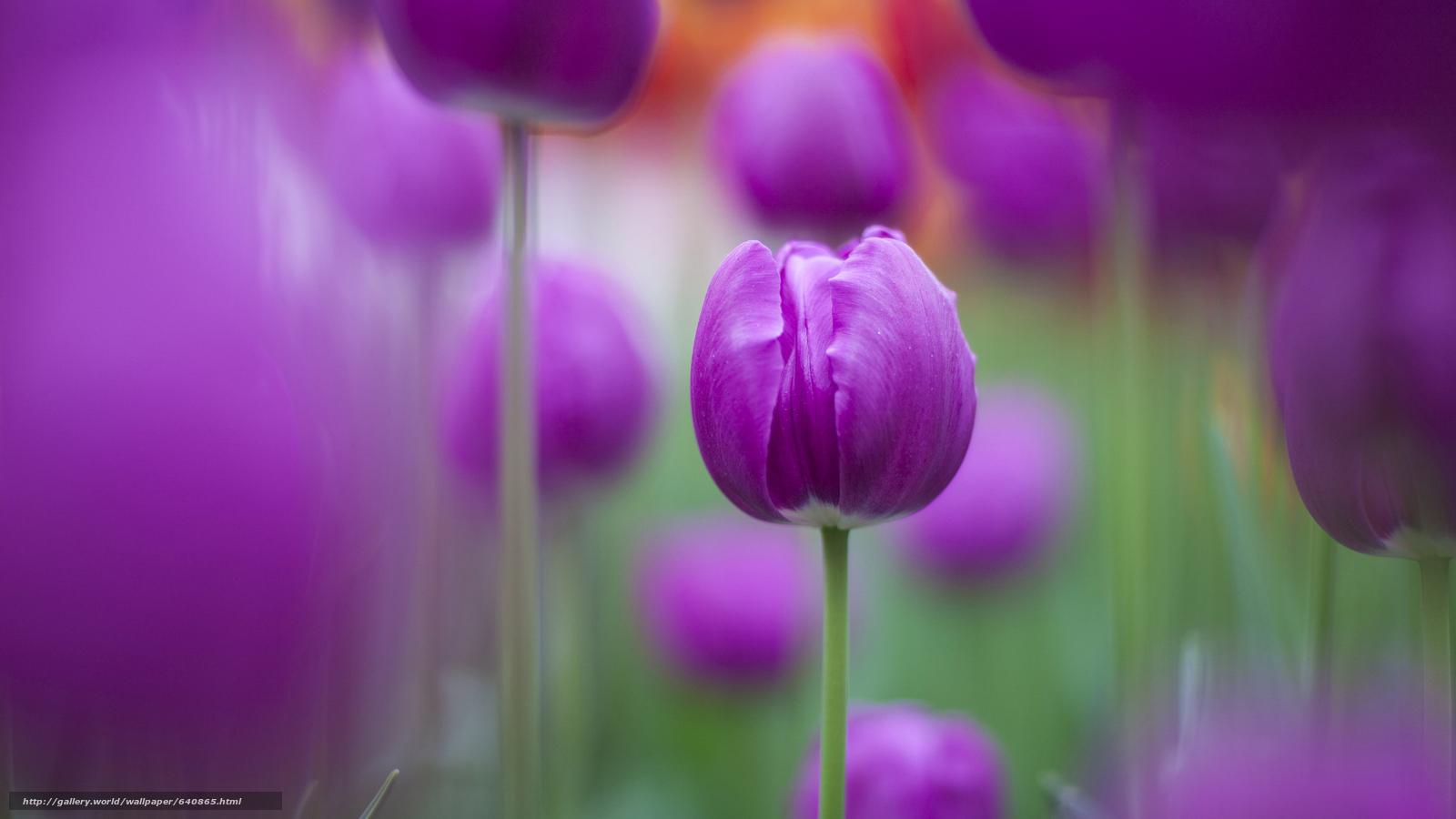 Скачать обои тюльпан,  тюльпаны,  цветы,  цветок бесплатно для рабочего стола в разрешении 2048x1152 — картинка №640865