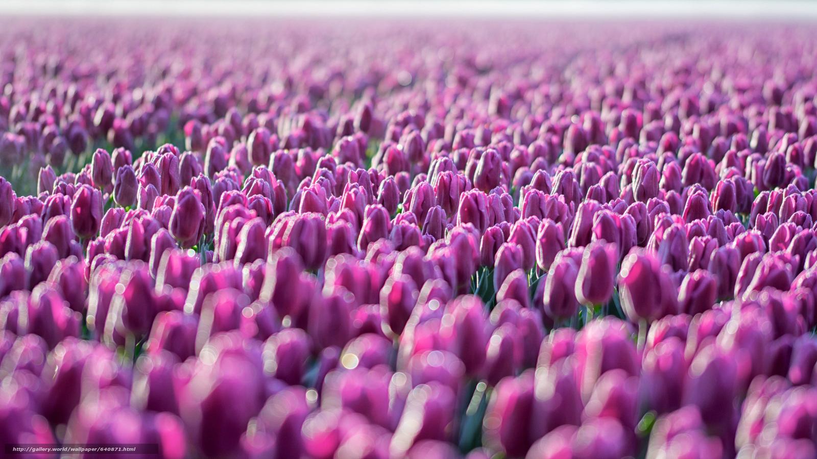 Download Hintergrund Tulpe,  TULIPS,  Blumen,  Blume Freie desktop Tapeten in der Auflosung 2048x1152 — bild №640871