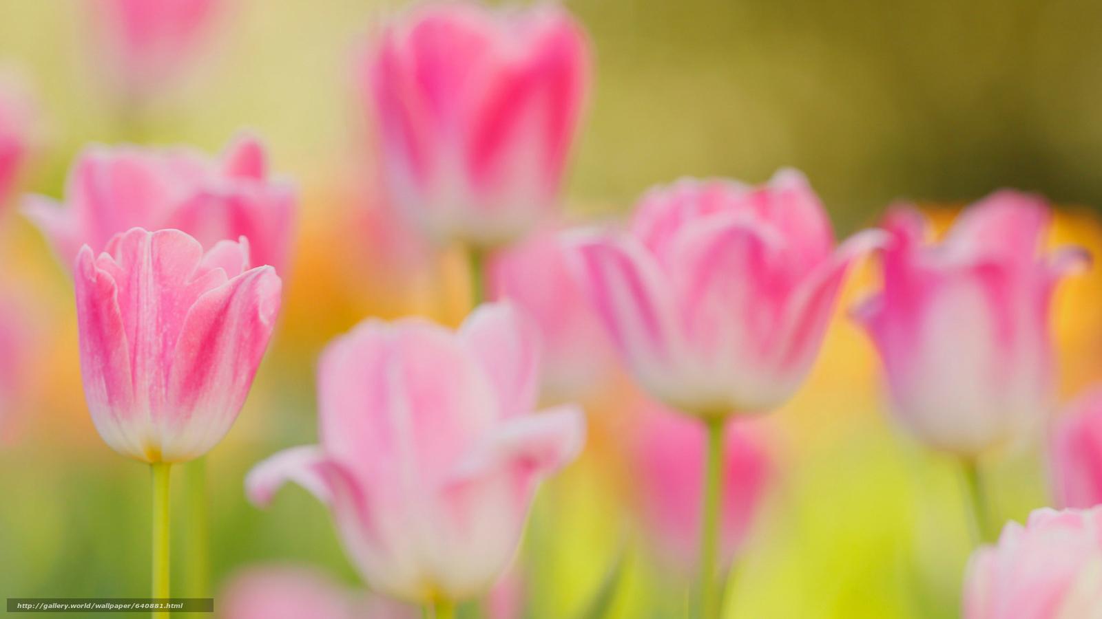 scaricare gli sfondi tulipano,  TULIPANI,  Fiori,  fiore Sfondi gratis per la risoluzione del desktop 2048x1152 — immagine №640881
