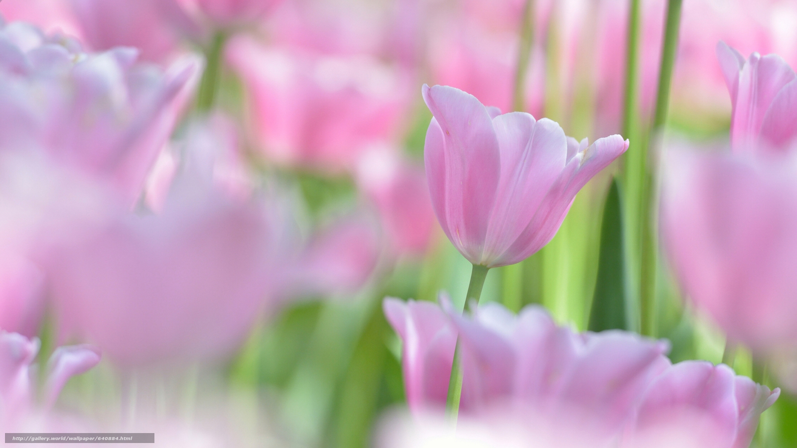 scaricare gli sfondi tulipano,  TULIPANI,  Fiori,  fiore Sfondi gratis per la risoluzione del desktop 2048x1152 — immagine №640884