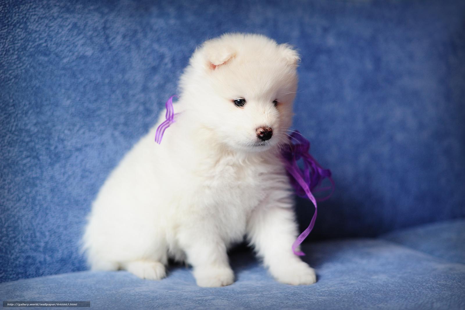 Скачать обои самоед,  щенок,  собака бесплатно для рабочего стола в разрешении 4256x2832 — картинка №640967