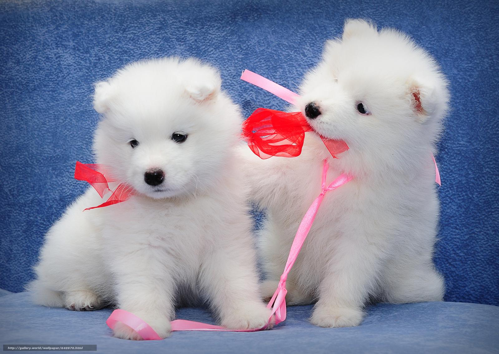 Скачать обои самоед,  щенки,  собаки,  малыши бесплатно для рабочего стола в разрешении 3351x2376 — картинка №640970