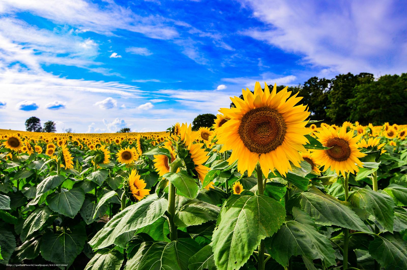 Download wallpaper field,  sky,  Sunflowers,  Flowers free desktop wallpaper in the resolution 4928x3264 — picture №641457